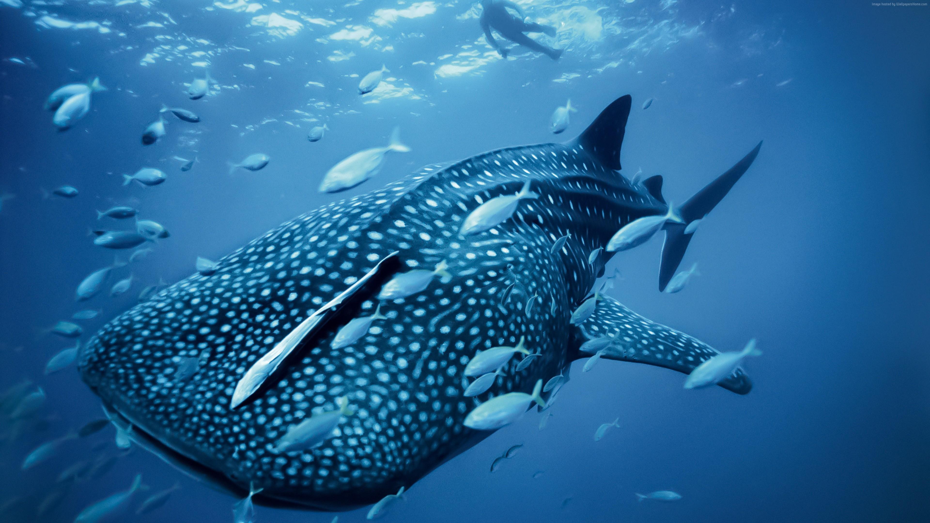 Wallpaper Whale Shark Palau Philippines Diving Tourism