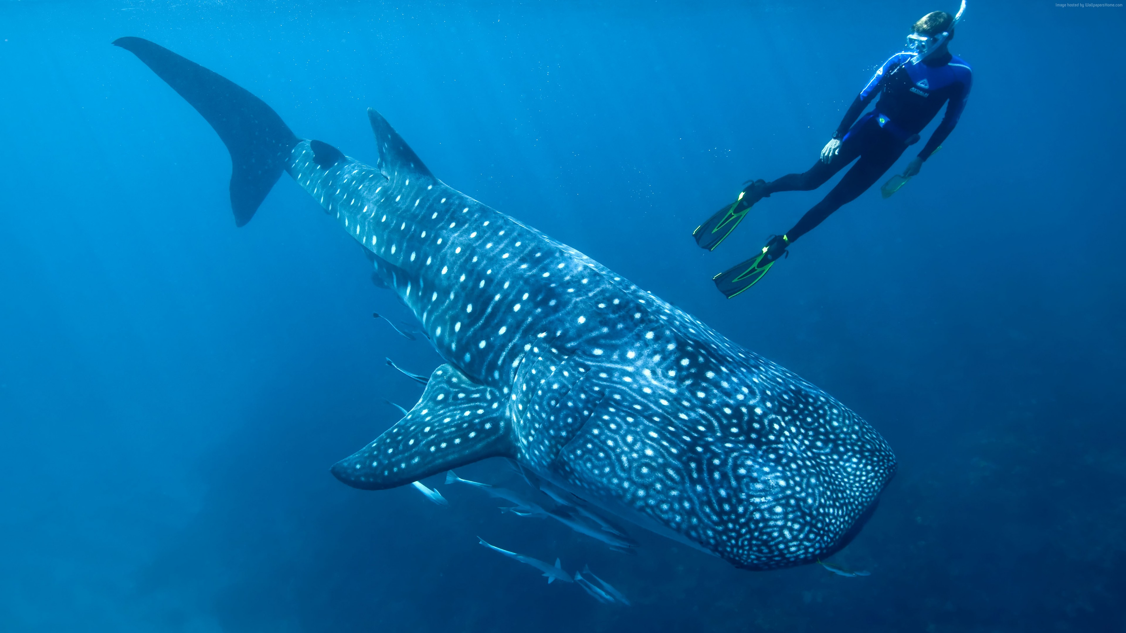 Wallpaper Whale shark, shark, atlantic, indian, pacific, ocean, water, underwater, blue, diving, tourism, fish, World&