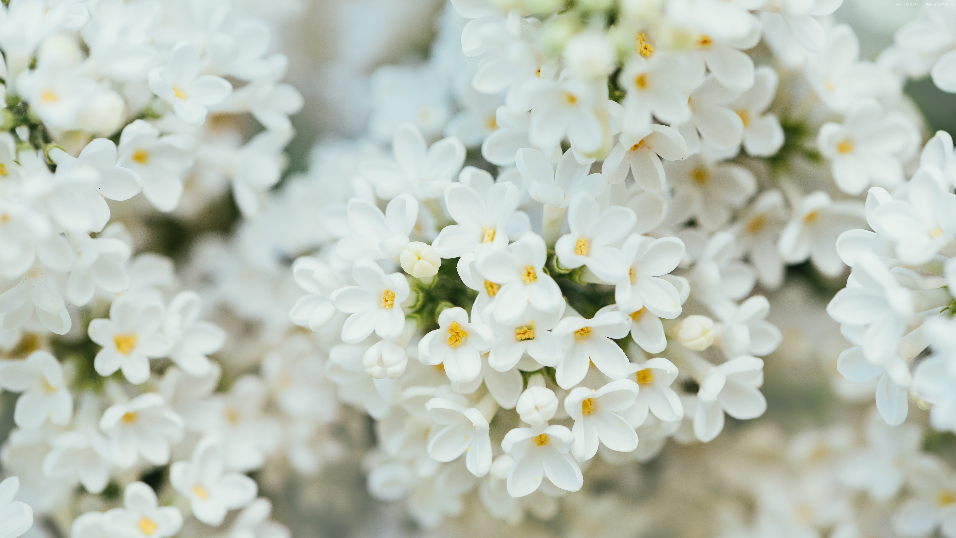 Wallpaper White Flower, spring, 4K, 7K, Nature