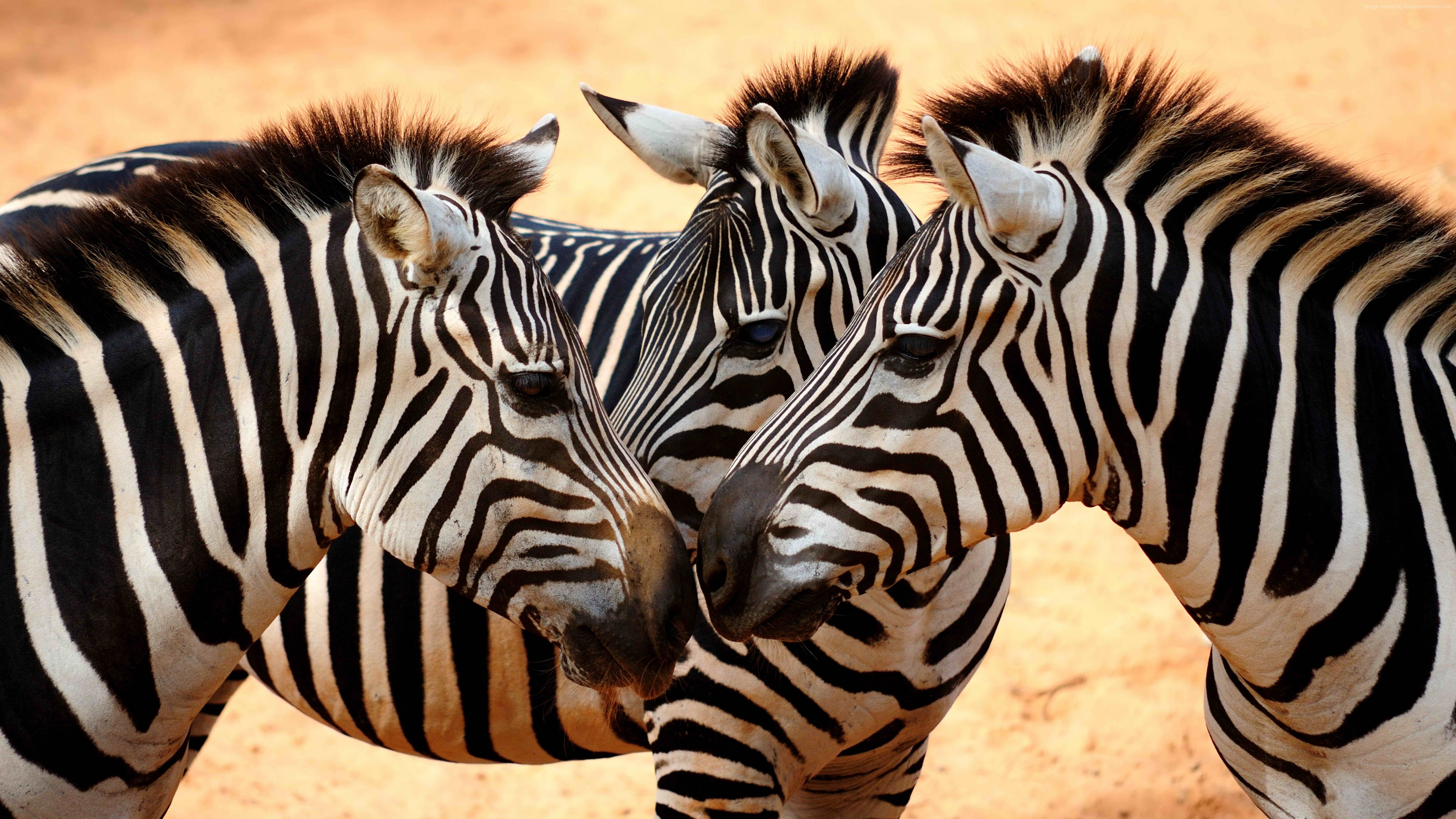 Wallpaper Zebra, couple, cute animals, Animals