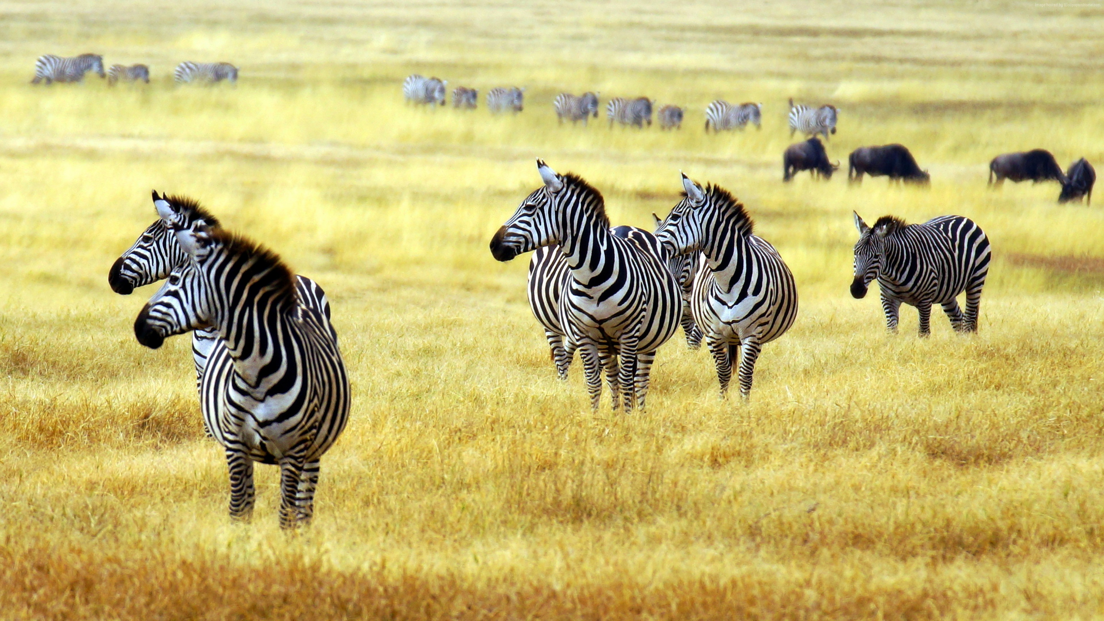 Wallpaper Zebra, savanna, cute animals, Animals