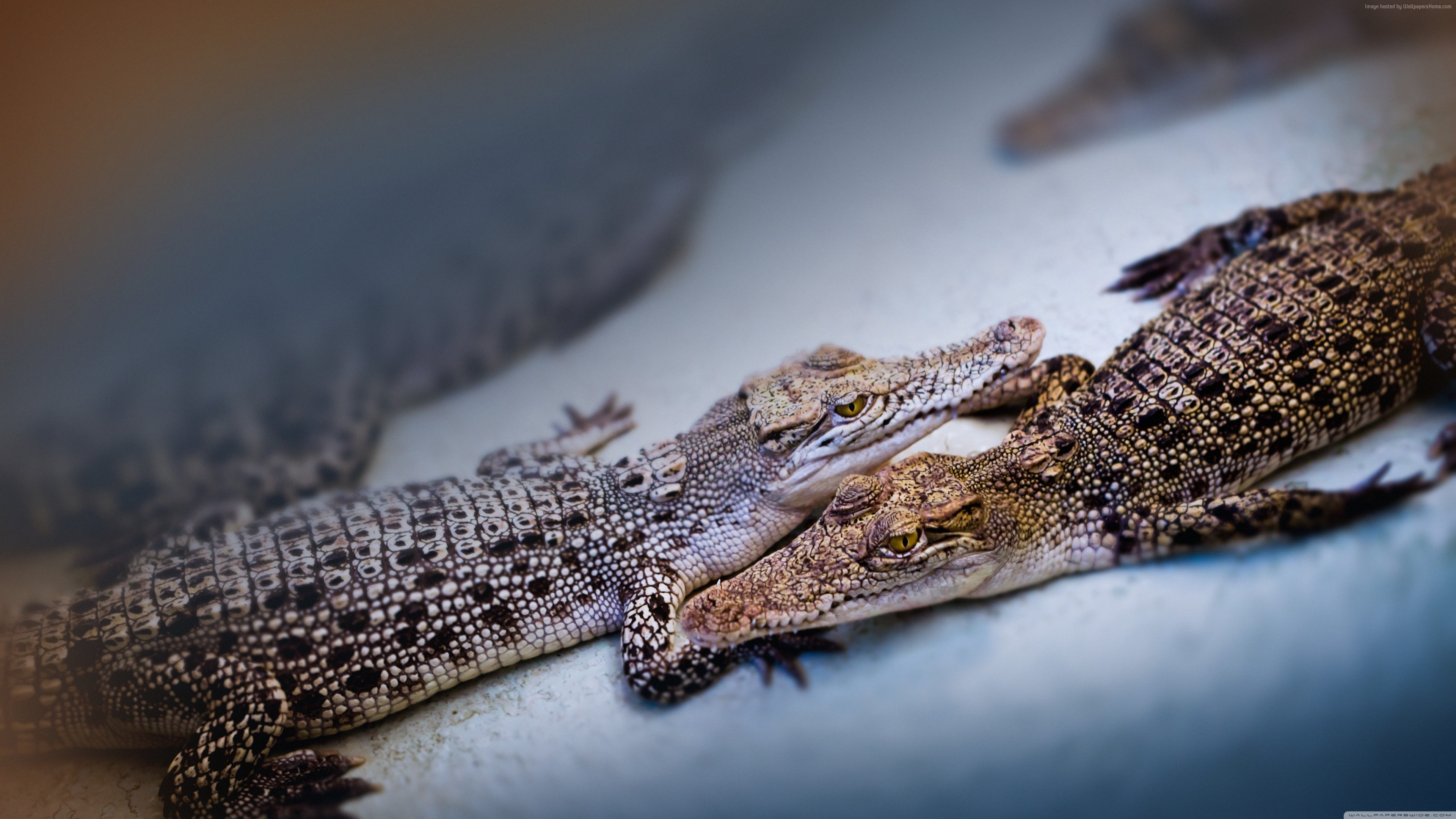 Wallpaper baby crocodiles, cute animals, Travel