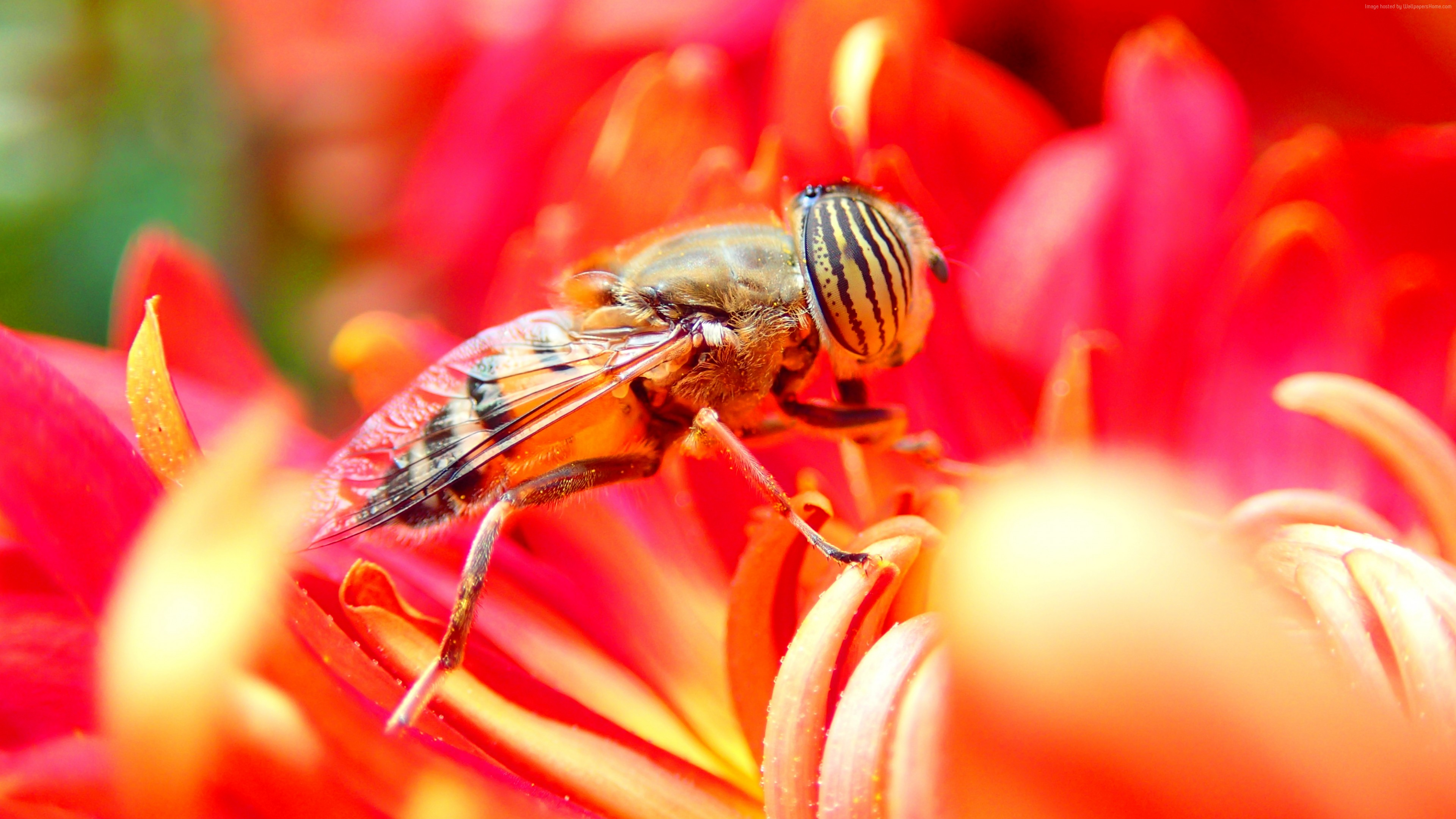 Wallpaper bee, flower, red, insects, Animals
