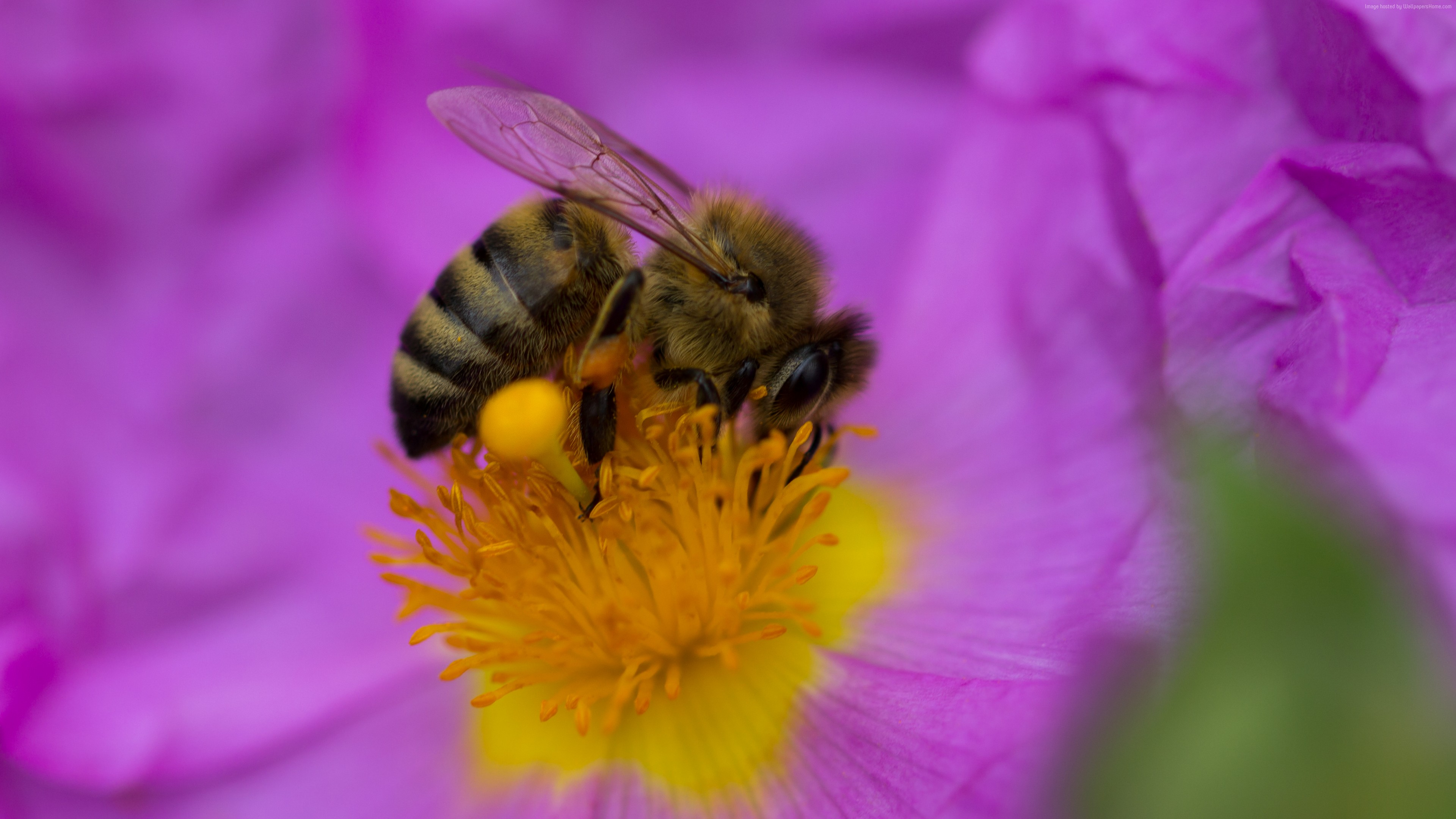 Wallpaper bee, purple, flower, yellow, insects, Animals
