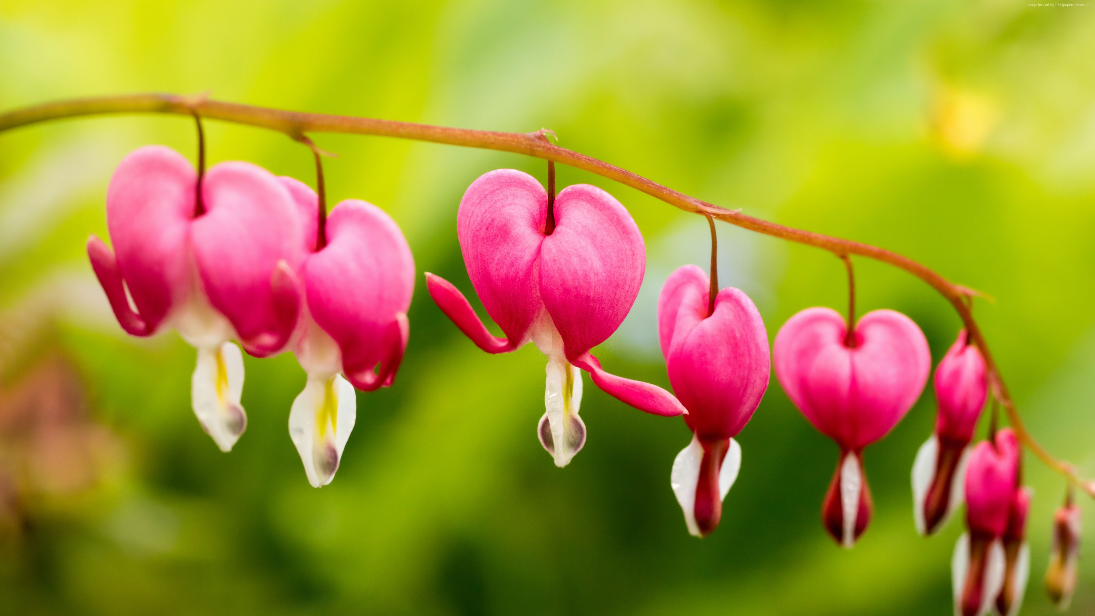Wallpaper bleeding hearts, flowers, 5k, Nature