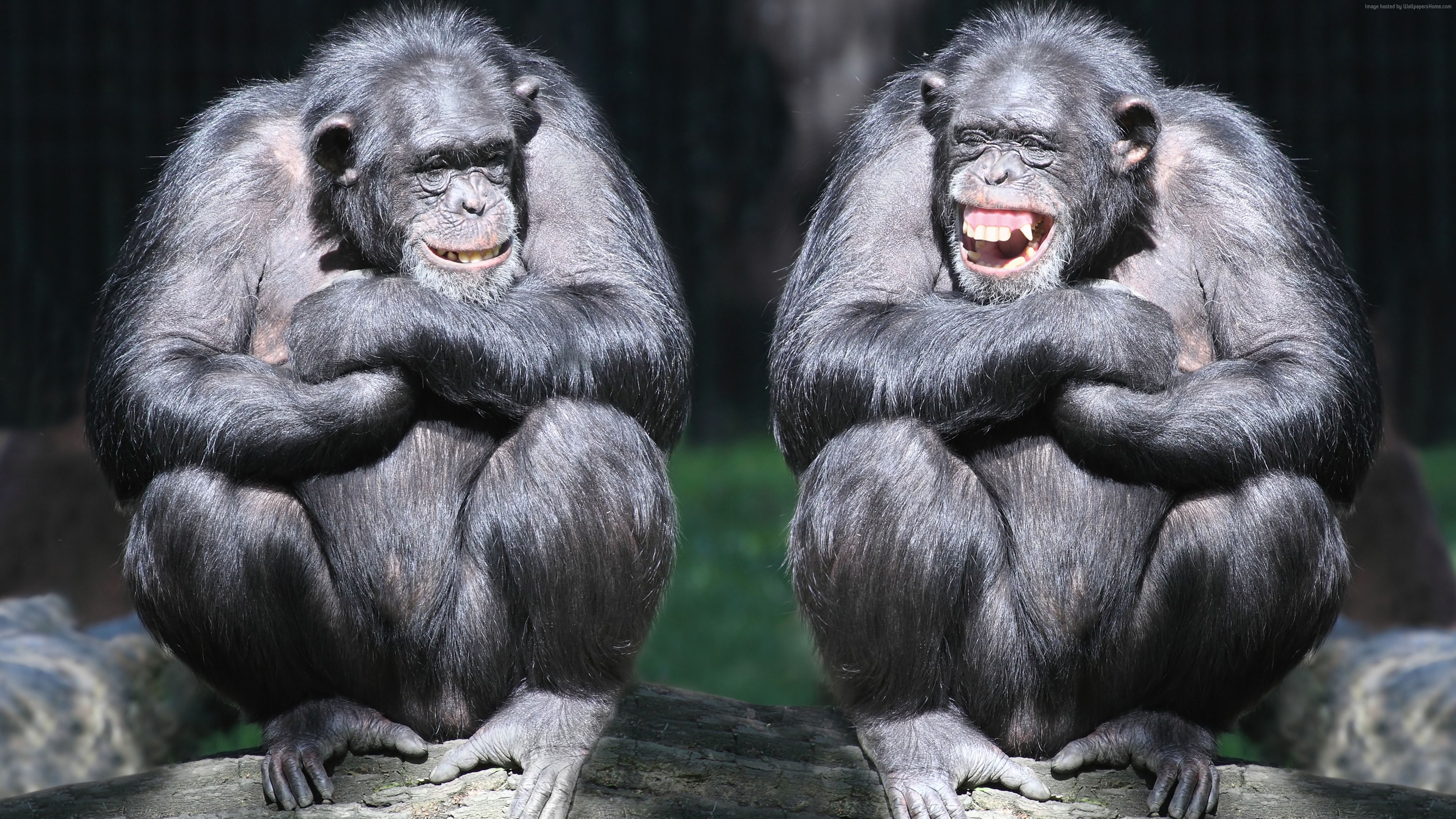 Wallpaper chimpanzee, couple, cute animals, monkey, funny, Animals