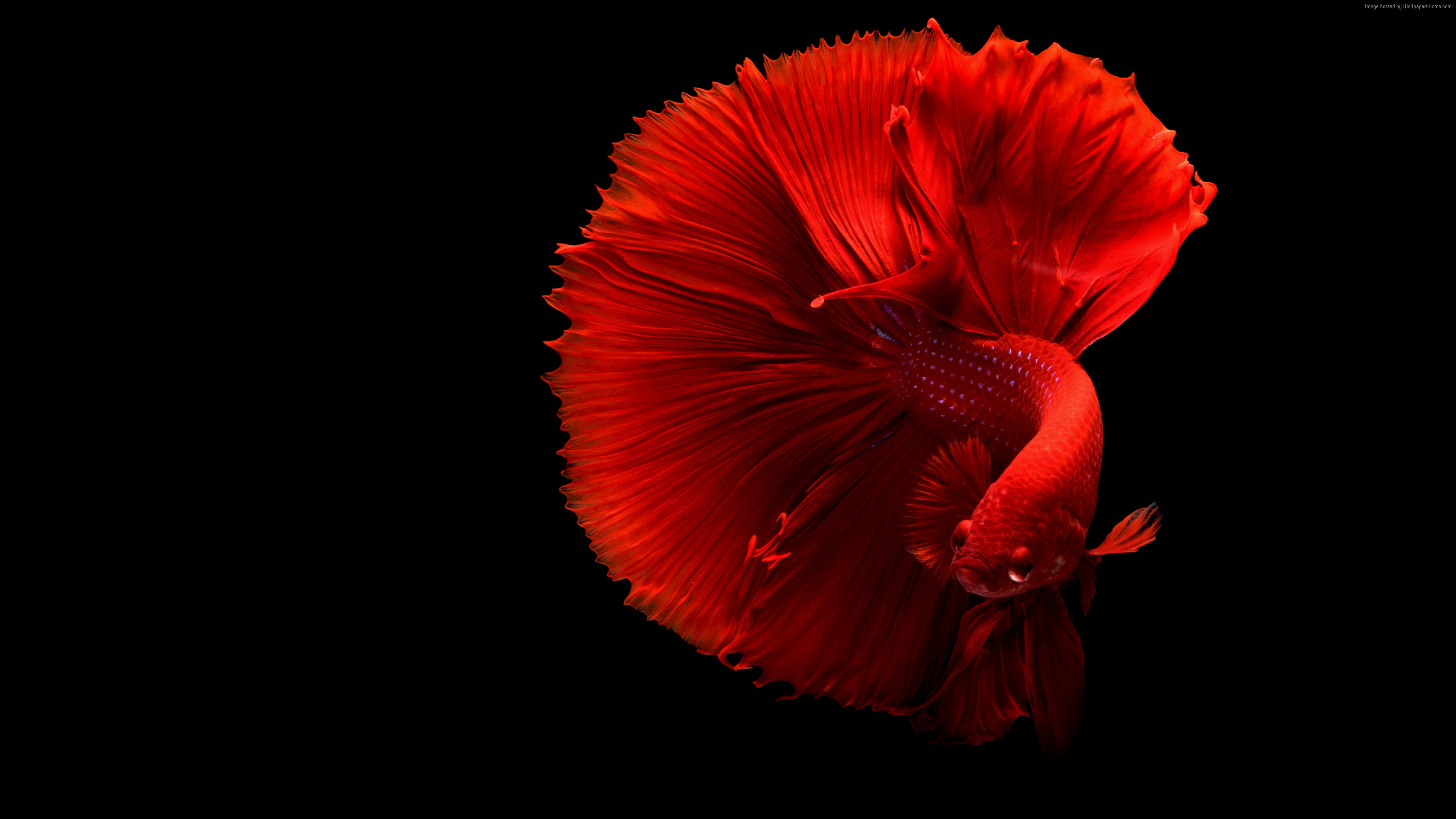 Wallpaper fish, 4k, Animals