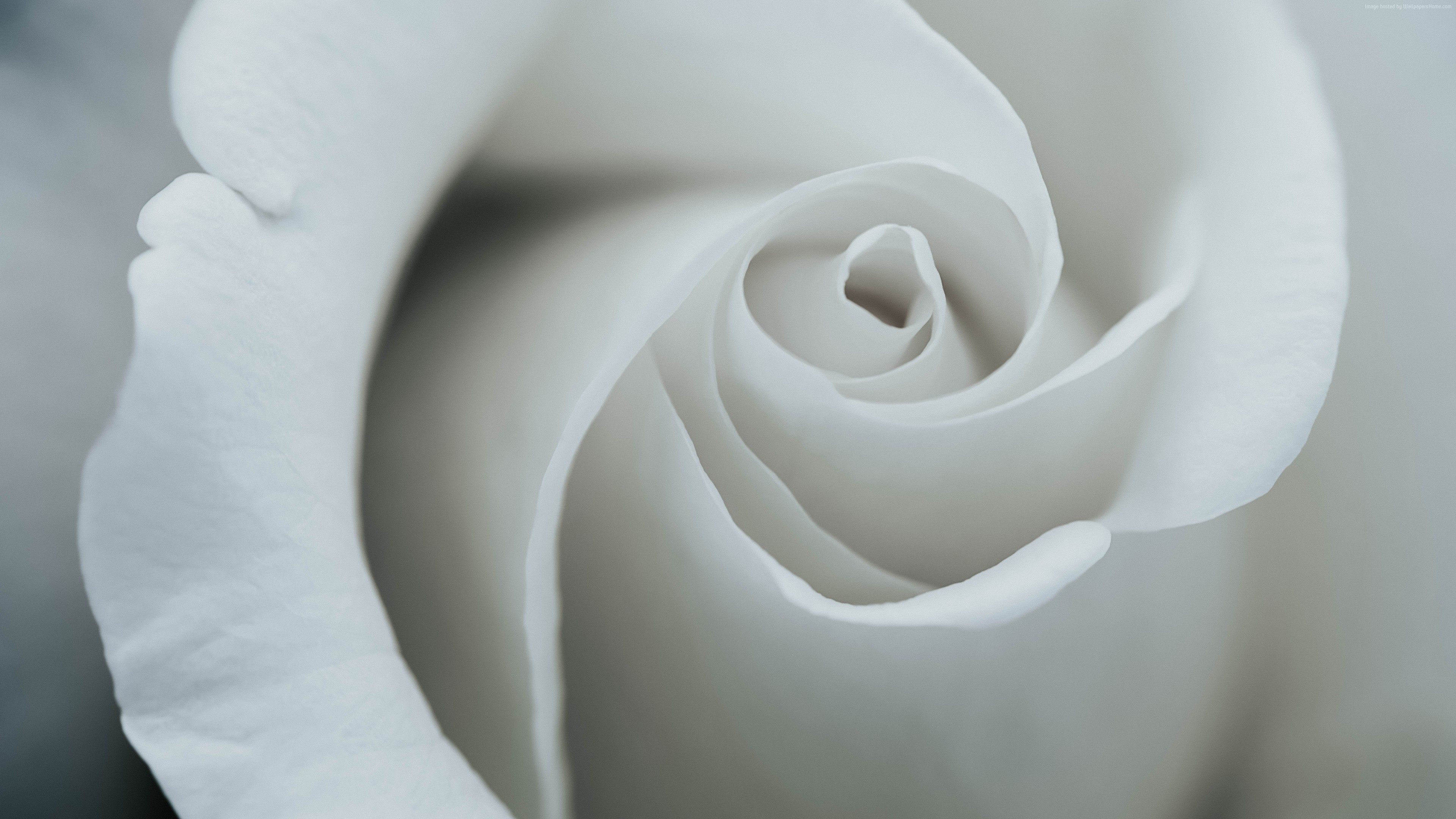 Wallpaper flower, rose, 8k, Nature