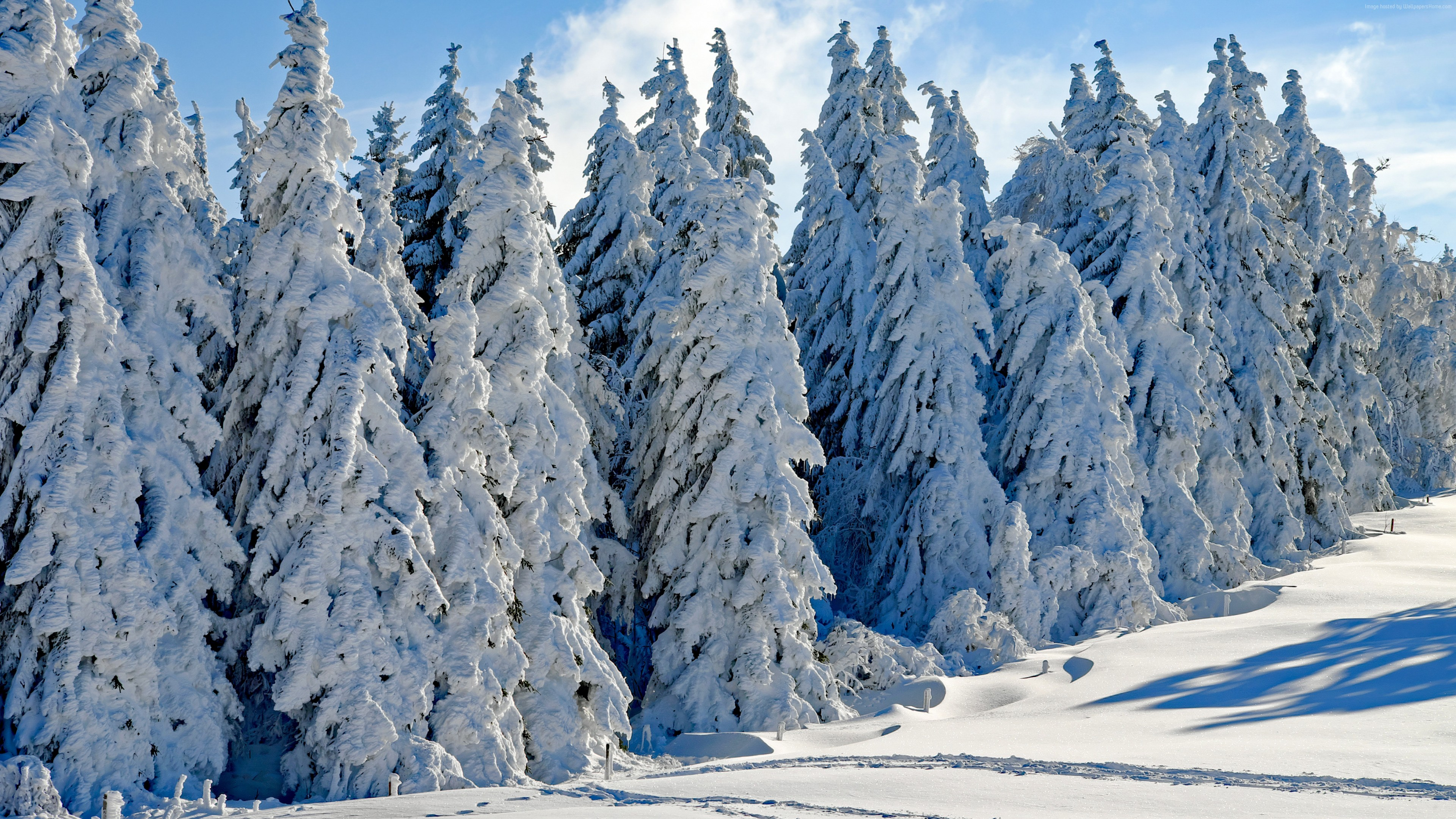 Wallpaper Forest Tree Snow Winter 4k Nature Download
