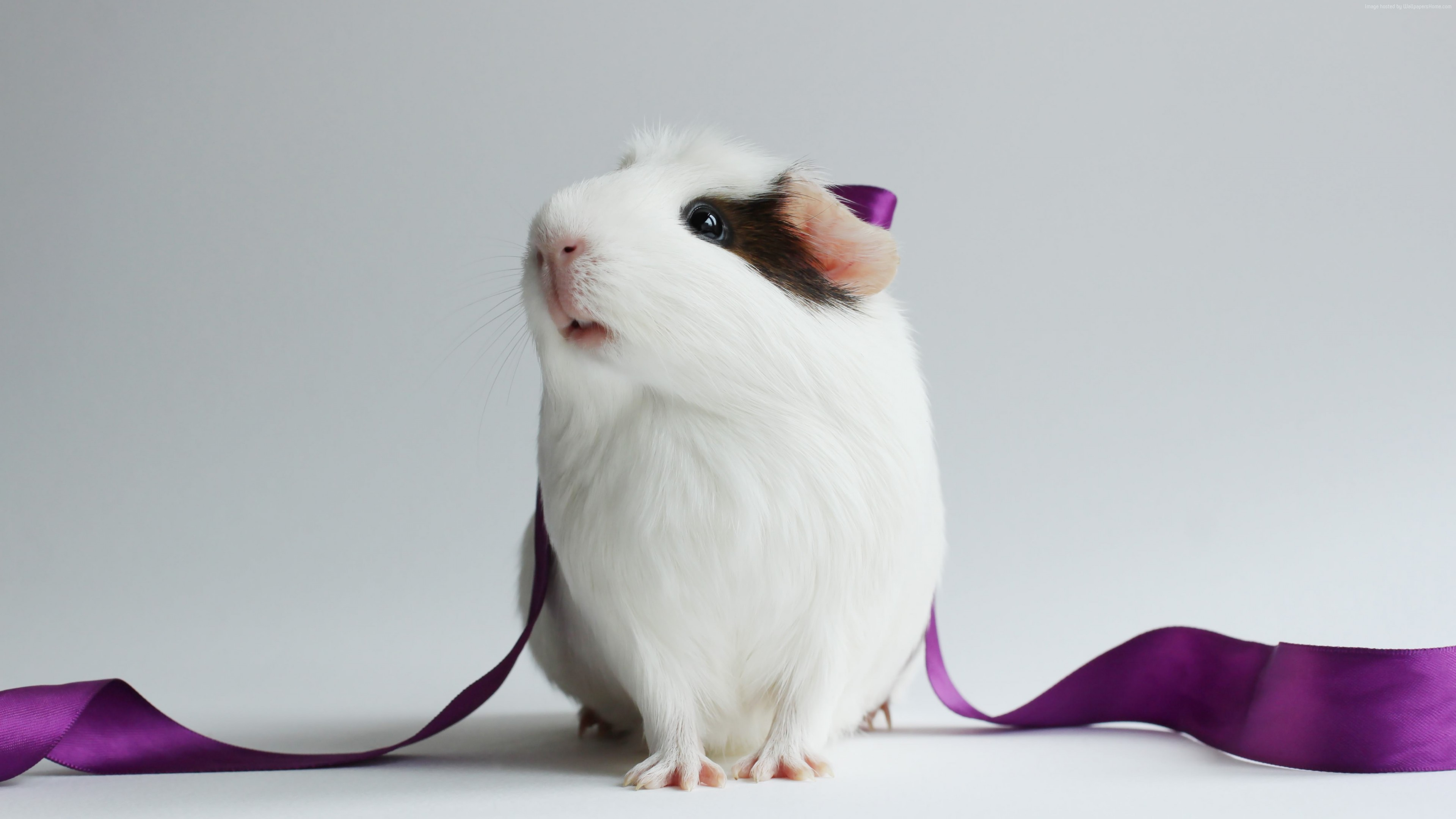 Wallpaper hamster, cute hamster, white, close-up, purple, ribbon, white background, Animals