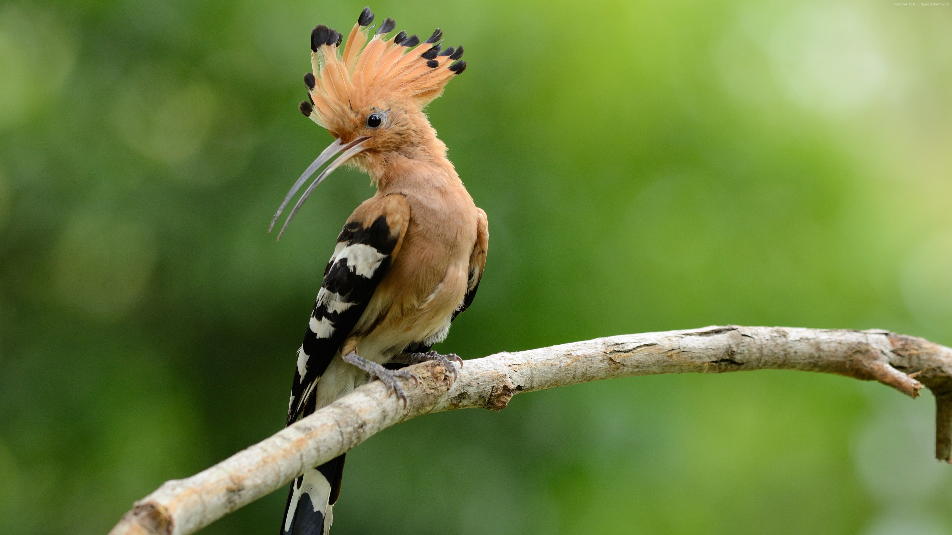 Wallpaper hoopoe, bird, 4k, Animals