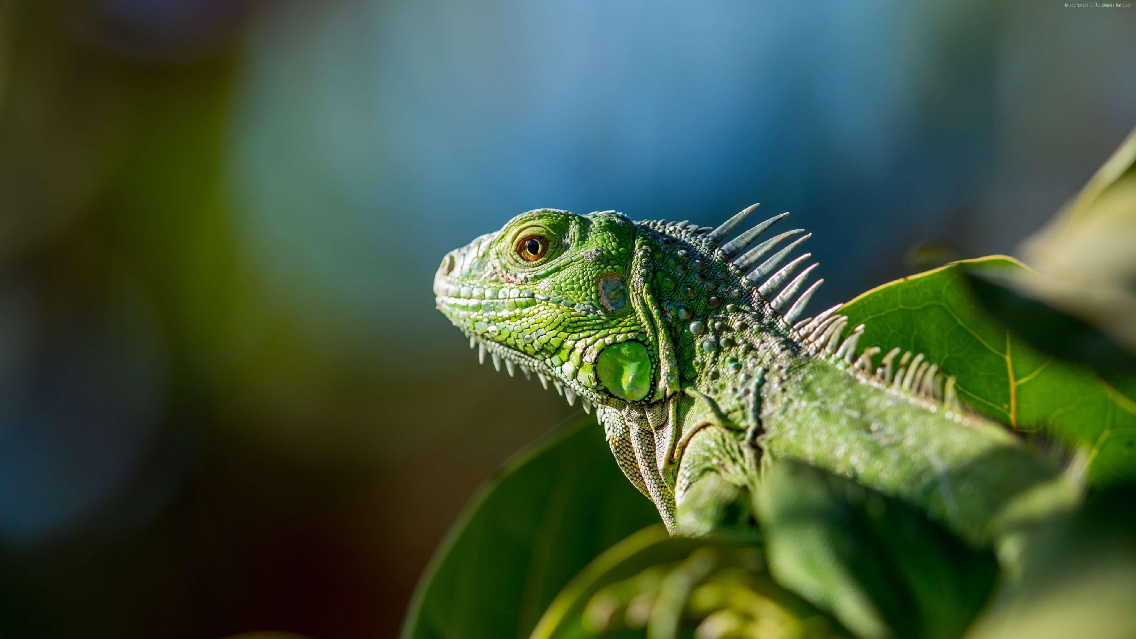 Wallpaper iguana, green, Animals