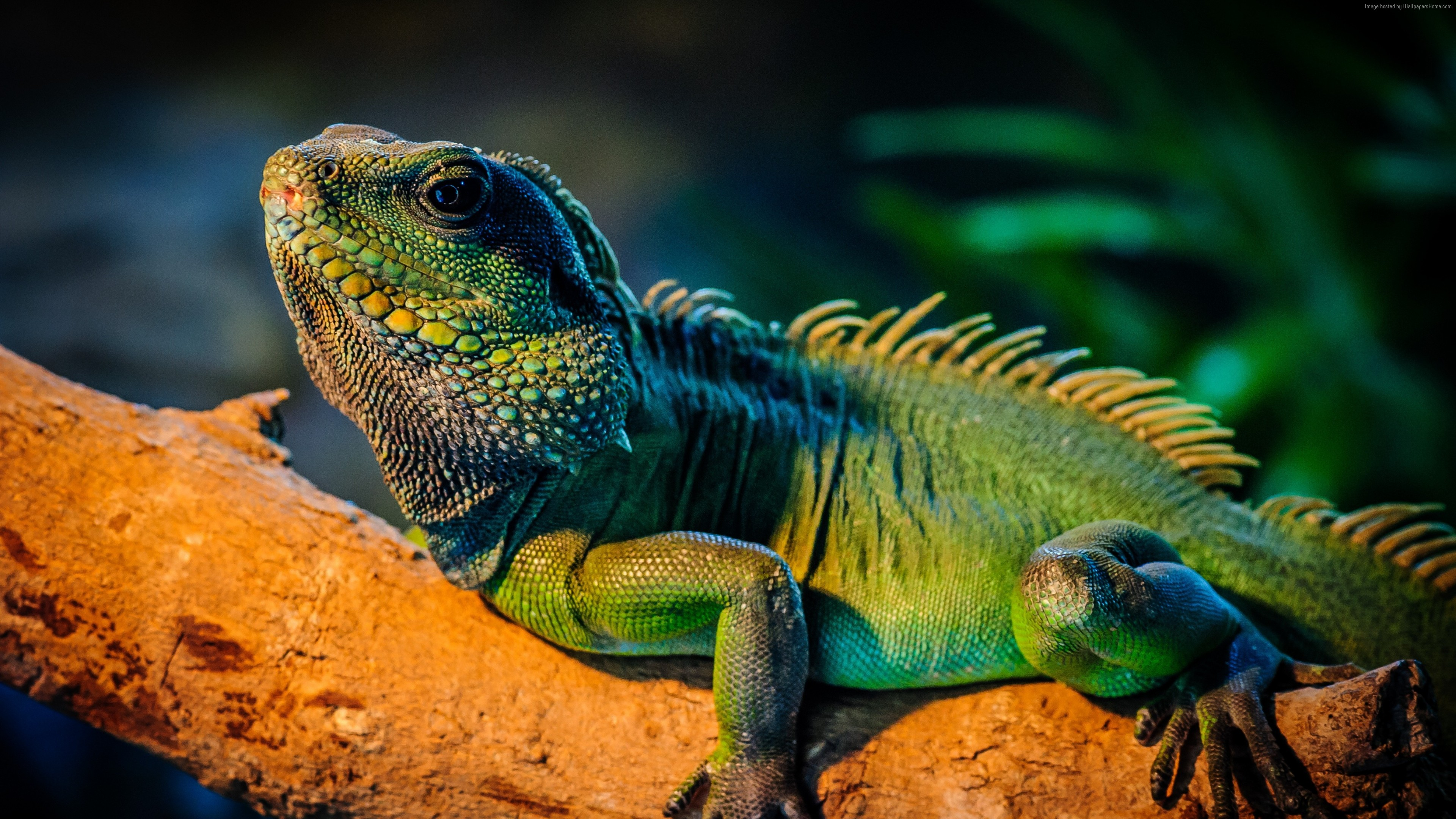 Wallpaper iguana, lizard, cute animals, Animals