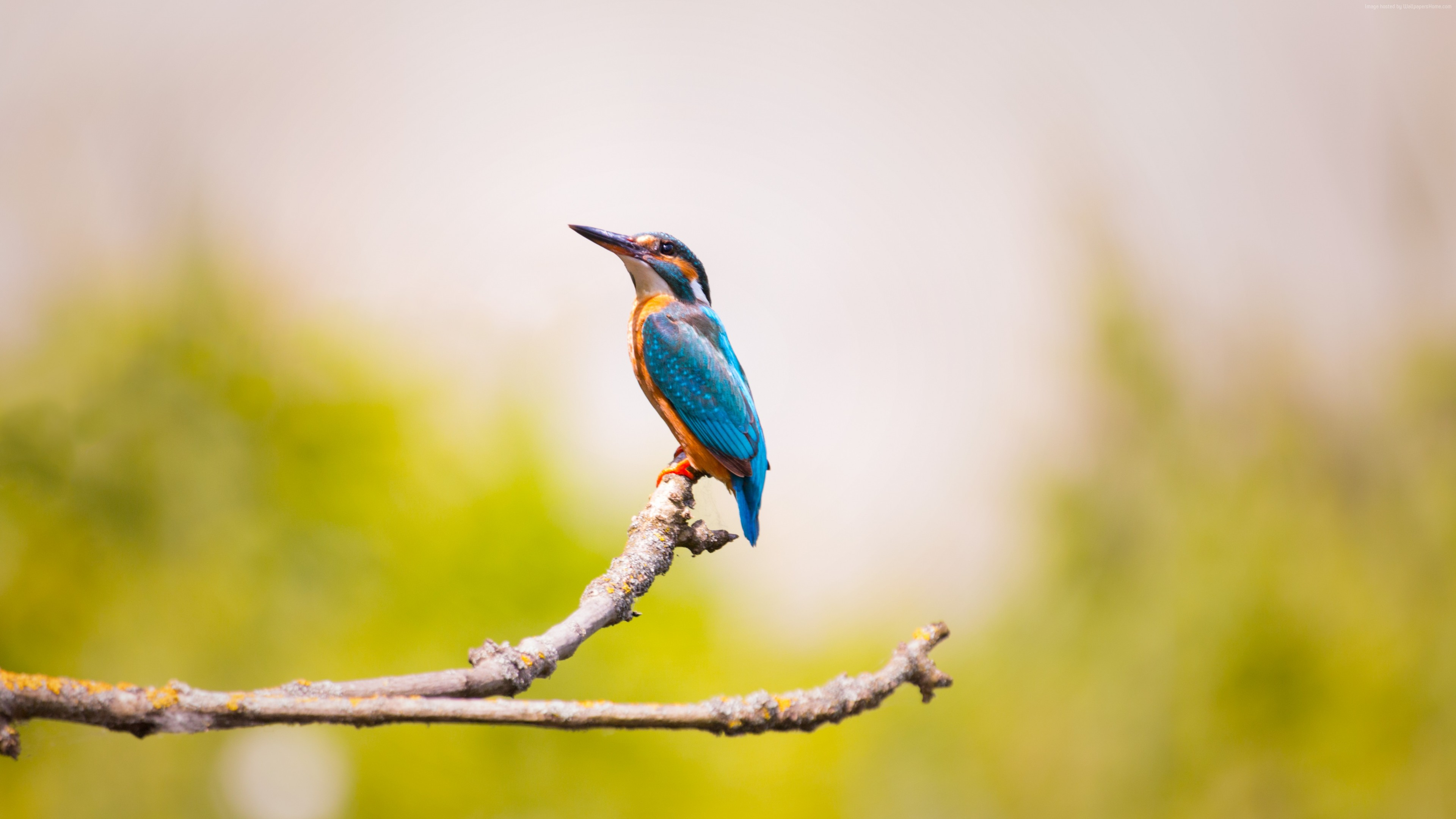 Wallpaper kingfisher, bird, 5k, Animals