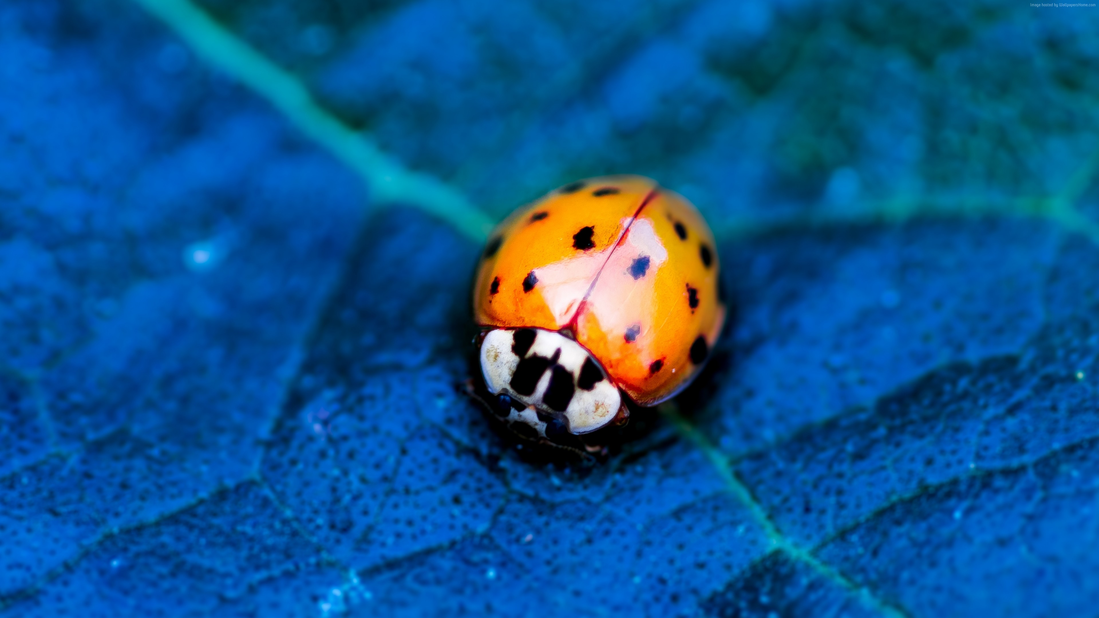 Wallpaper ladybird, beetle, flower, blue, Animals