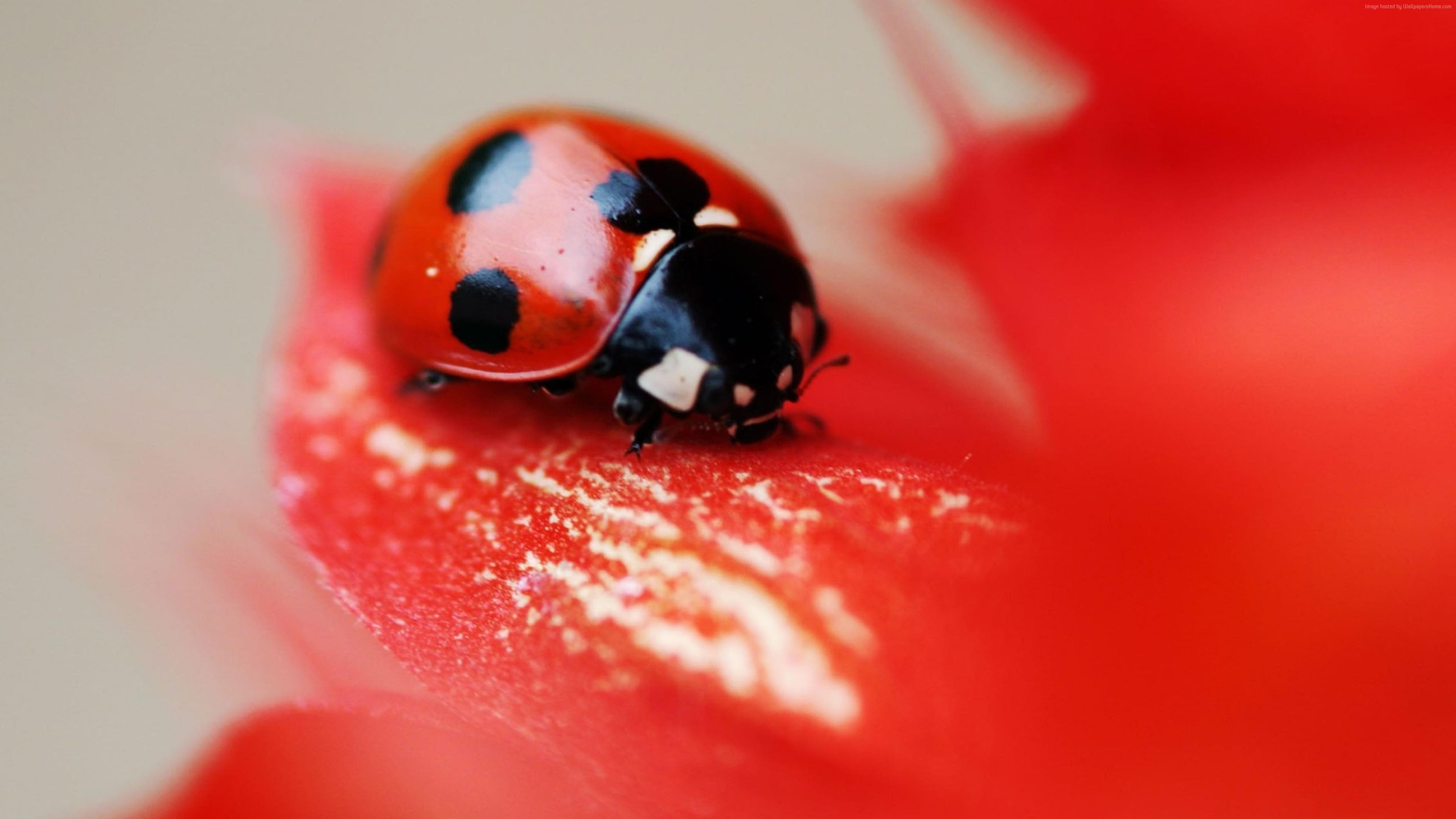 Wallpaper ladybird, red, beetle, flower, Animals
