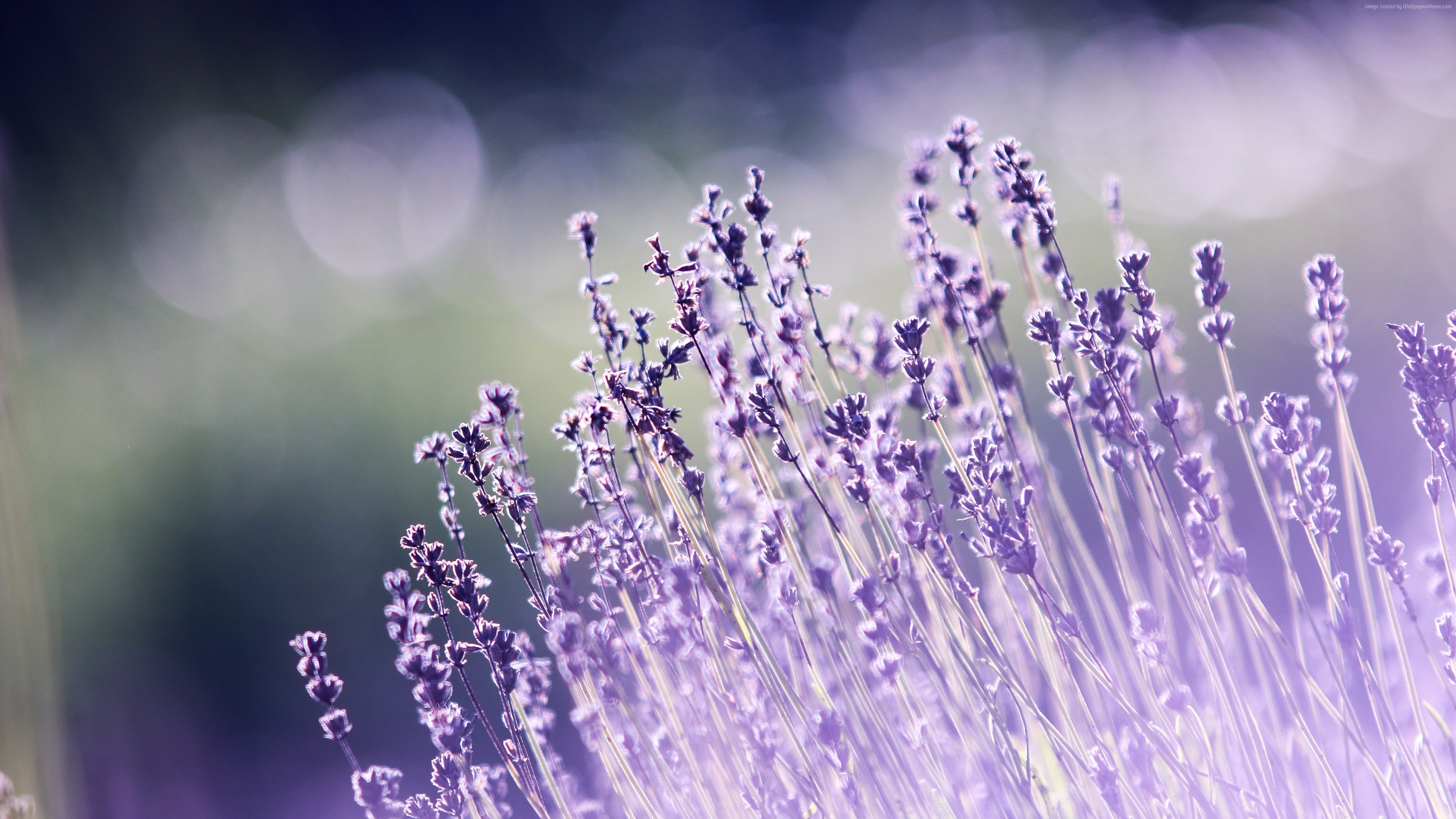 Wallpaper lavender, flowers, 5k, Nature