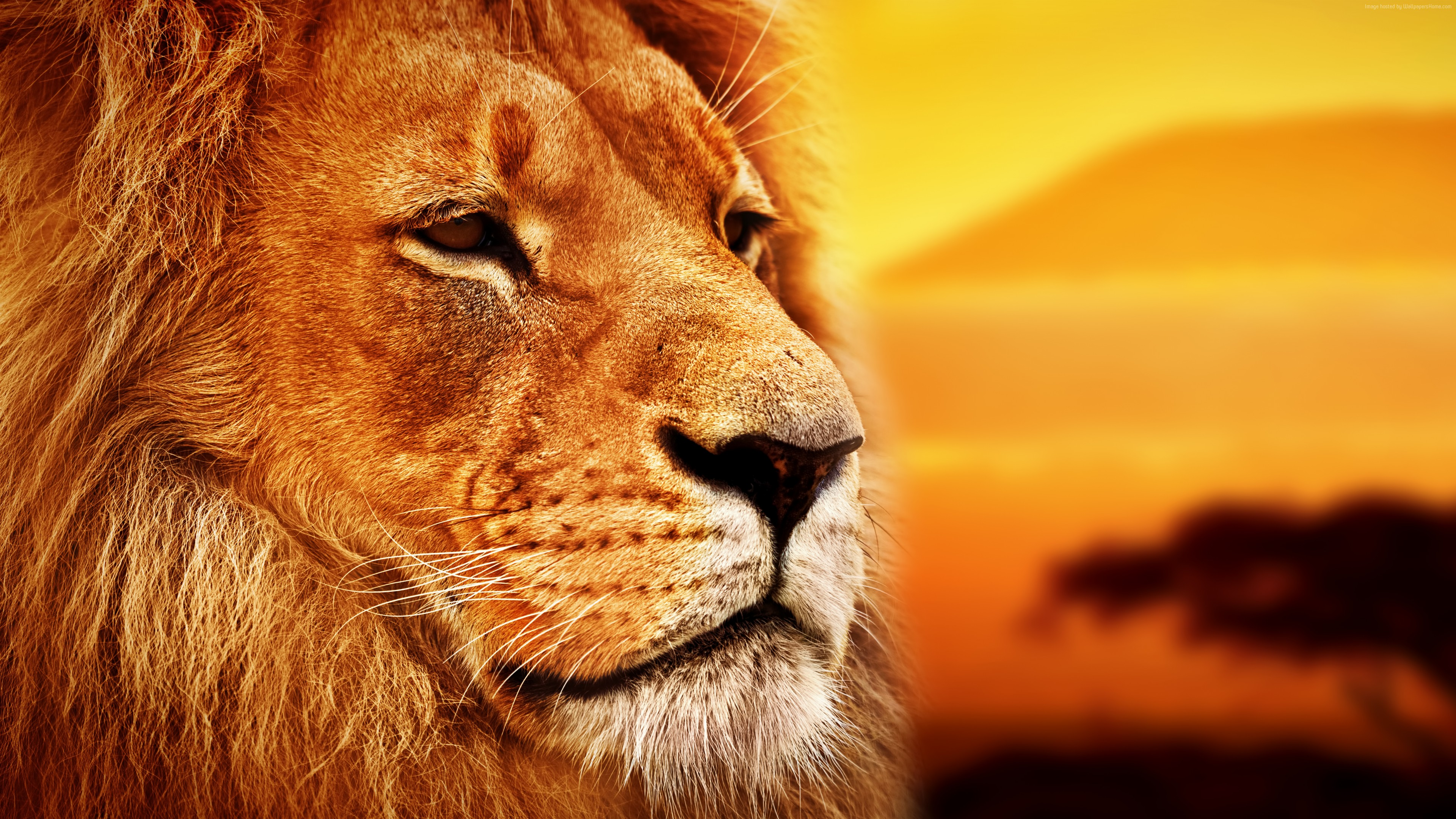 Wallpaper lion, Savanna, 8k, Animals