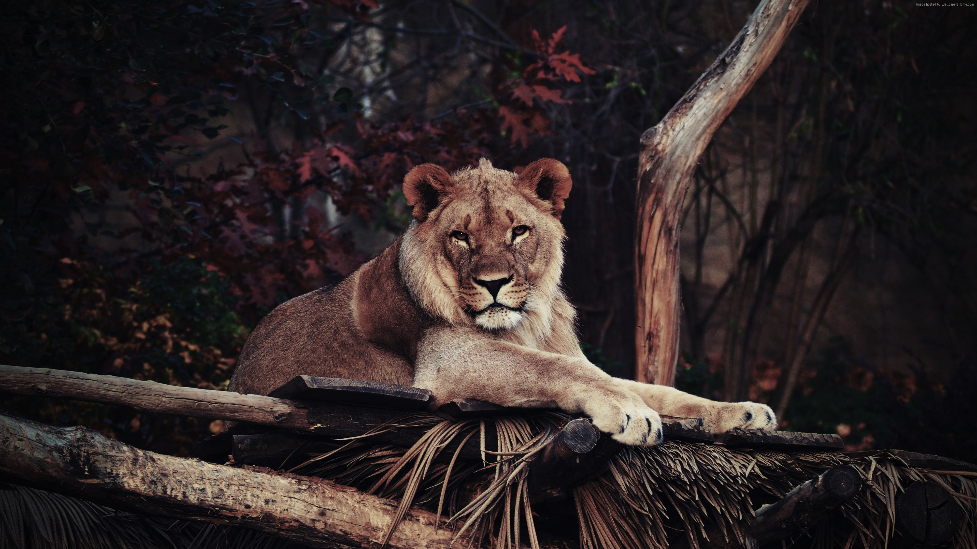 Wallpaper lion, savanna, 5k, Animals