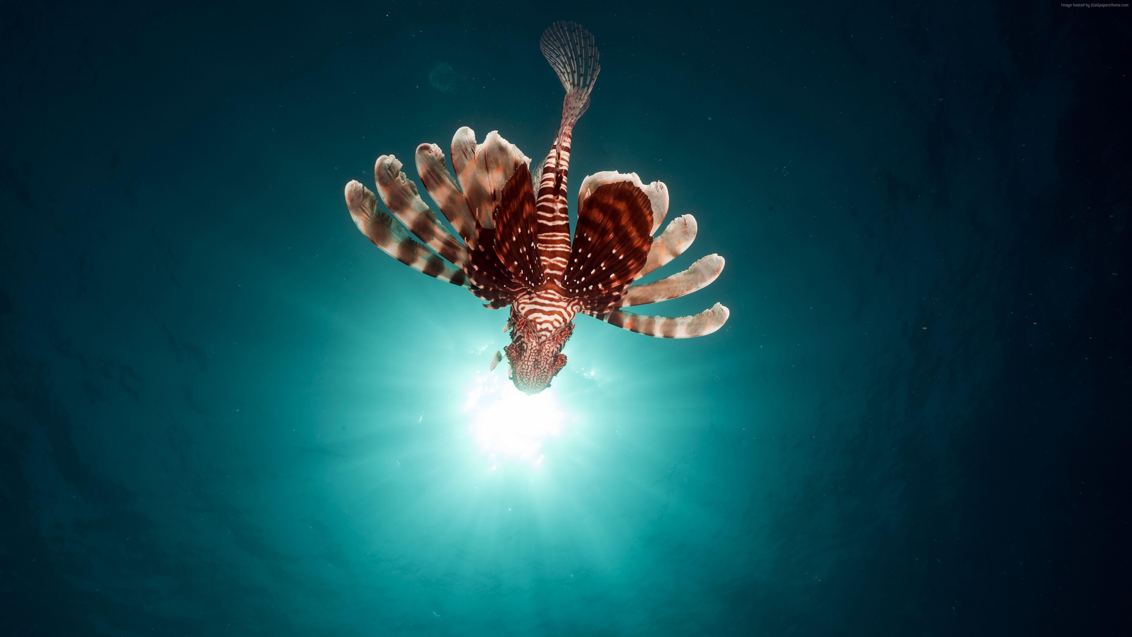 Wallpaper lionfish, fish, red sea, underwater, flying fish, Travel