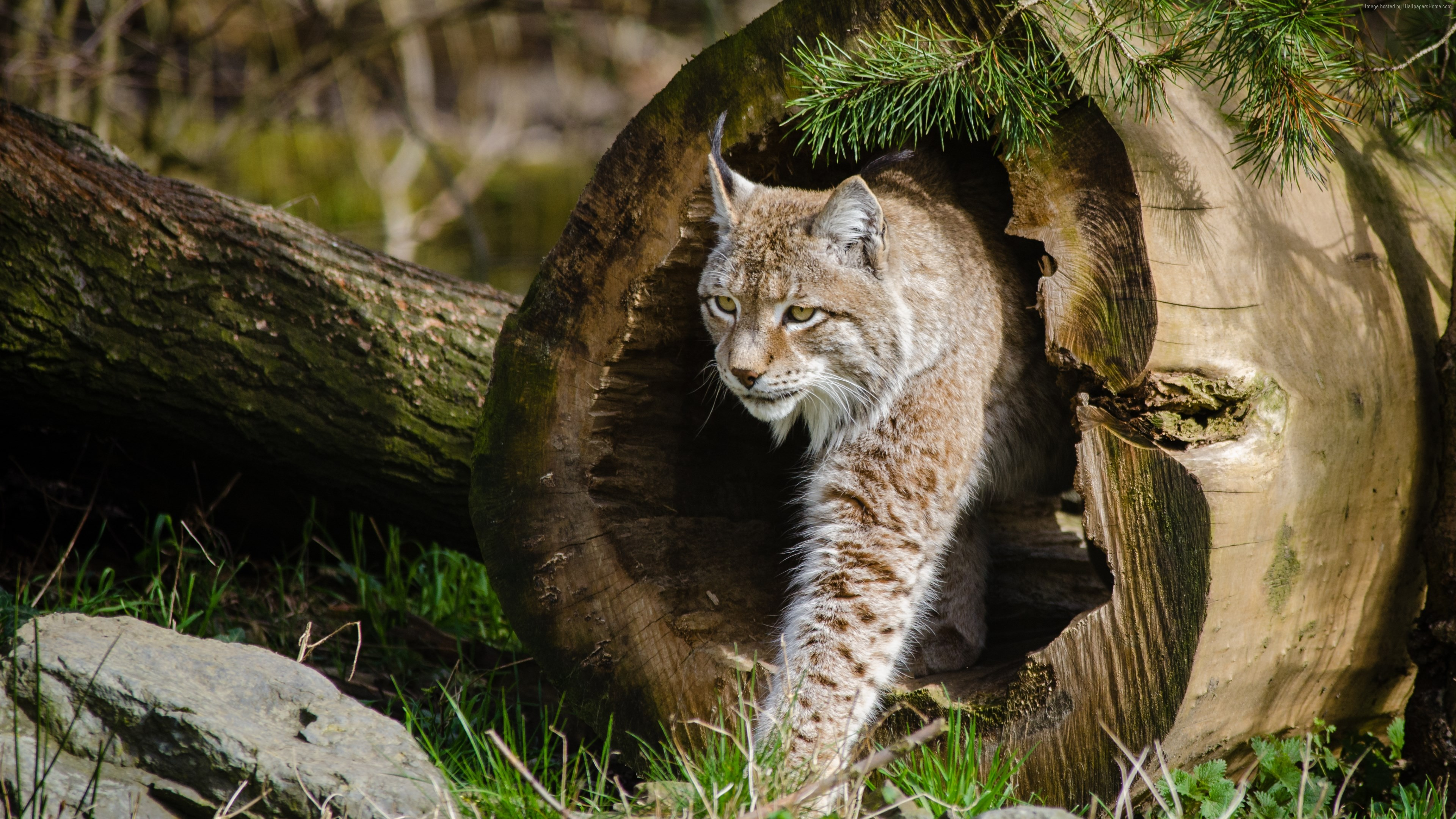 Wallpaper lynx, World&