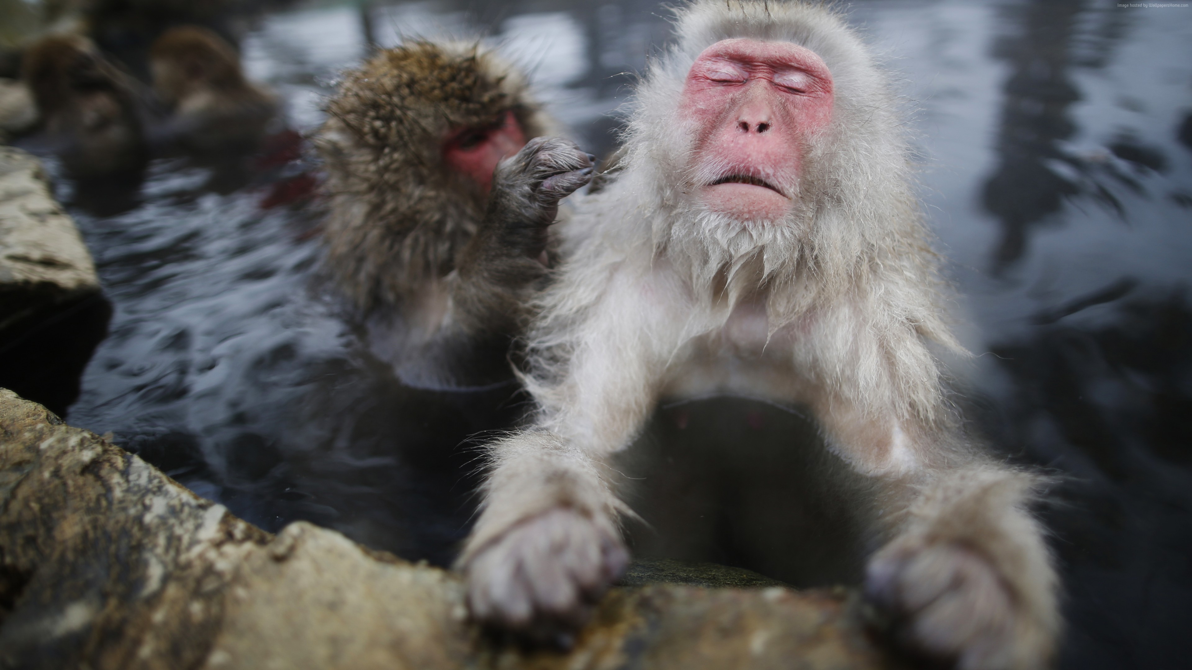 Wallpaper monkey, water, cute animals, funny, Animals