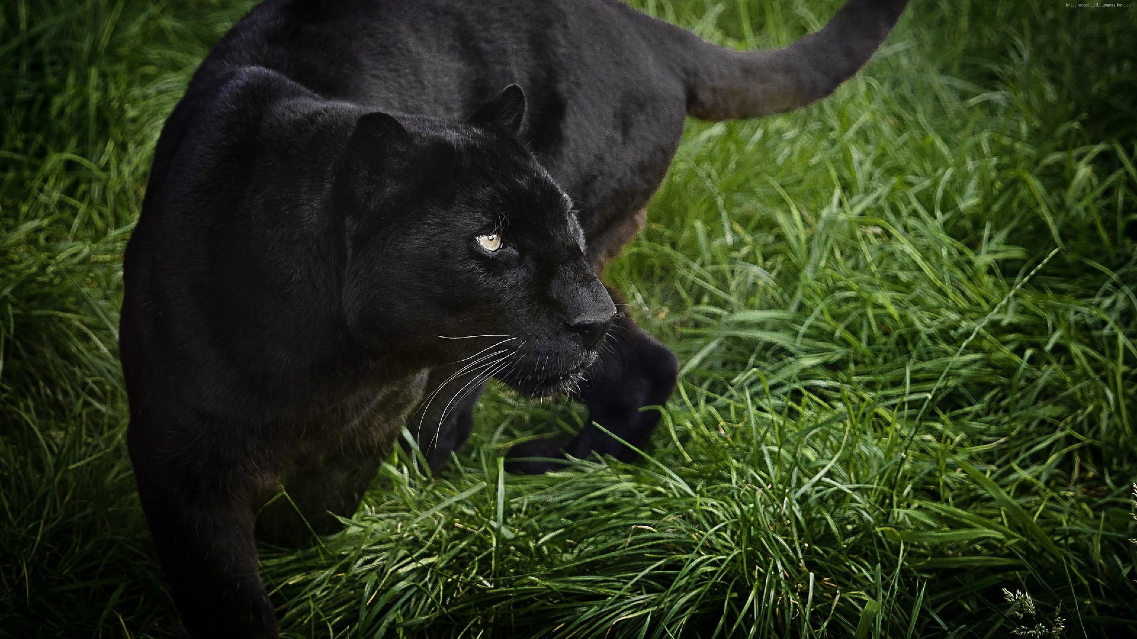 Wallpaper panther, black, 4k, Animals