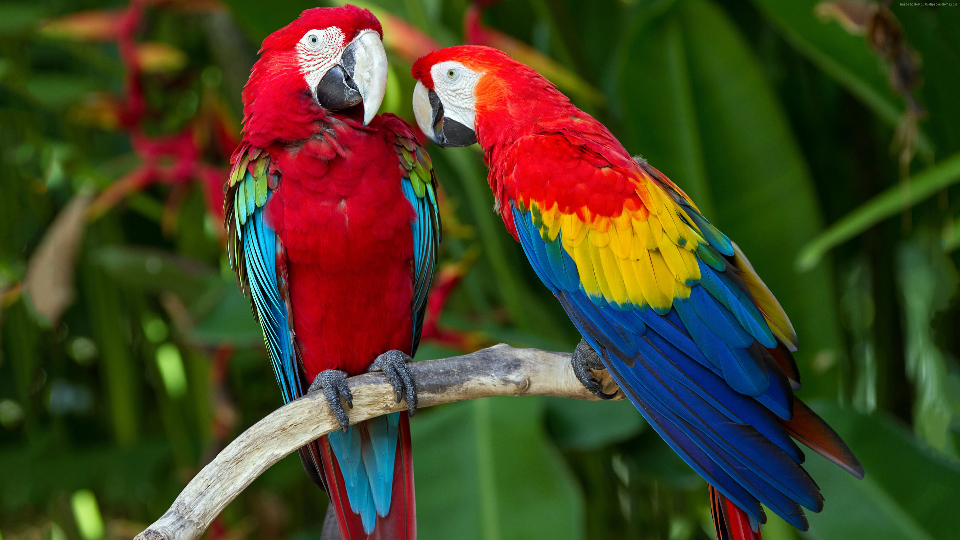 Wallpaper parrot, plumage, branch, exotic, red, blue, Animals