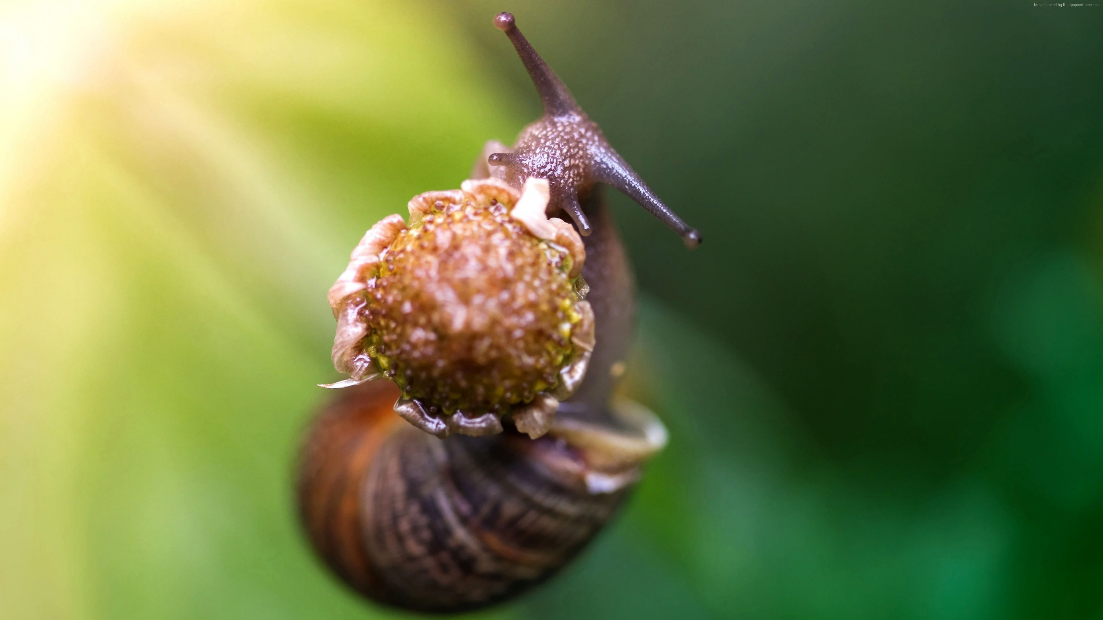 Wallpaper snail, eating flower, green background, nature, Animals