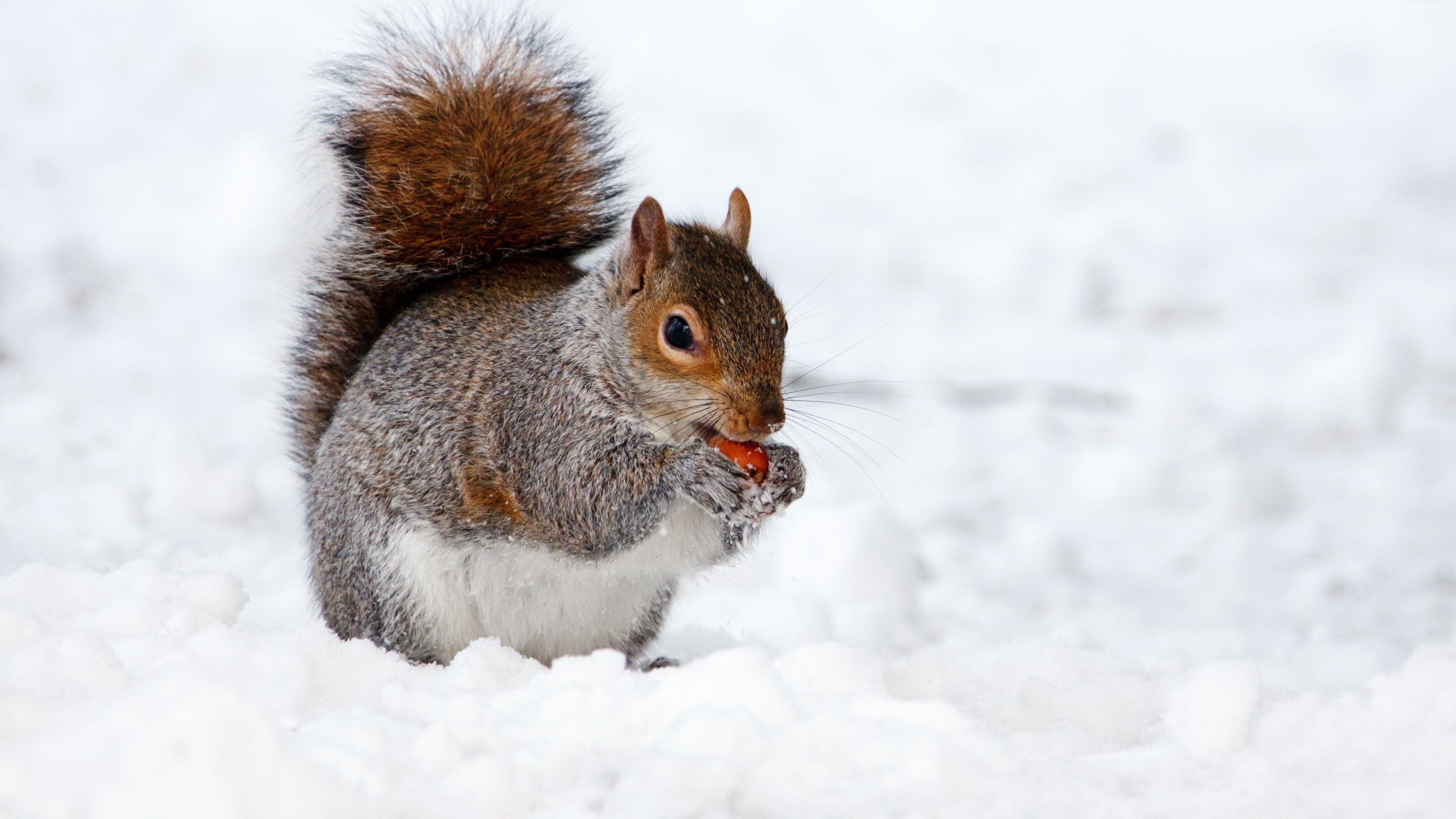 Wallpaper squirrel, cute animals, snow, winter, 4k, Animals
