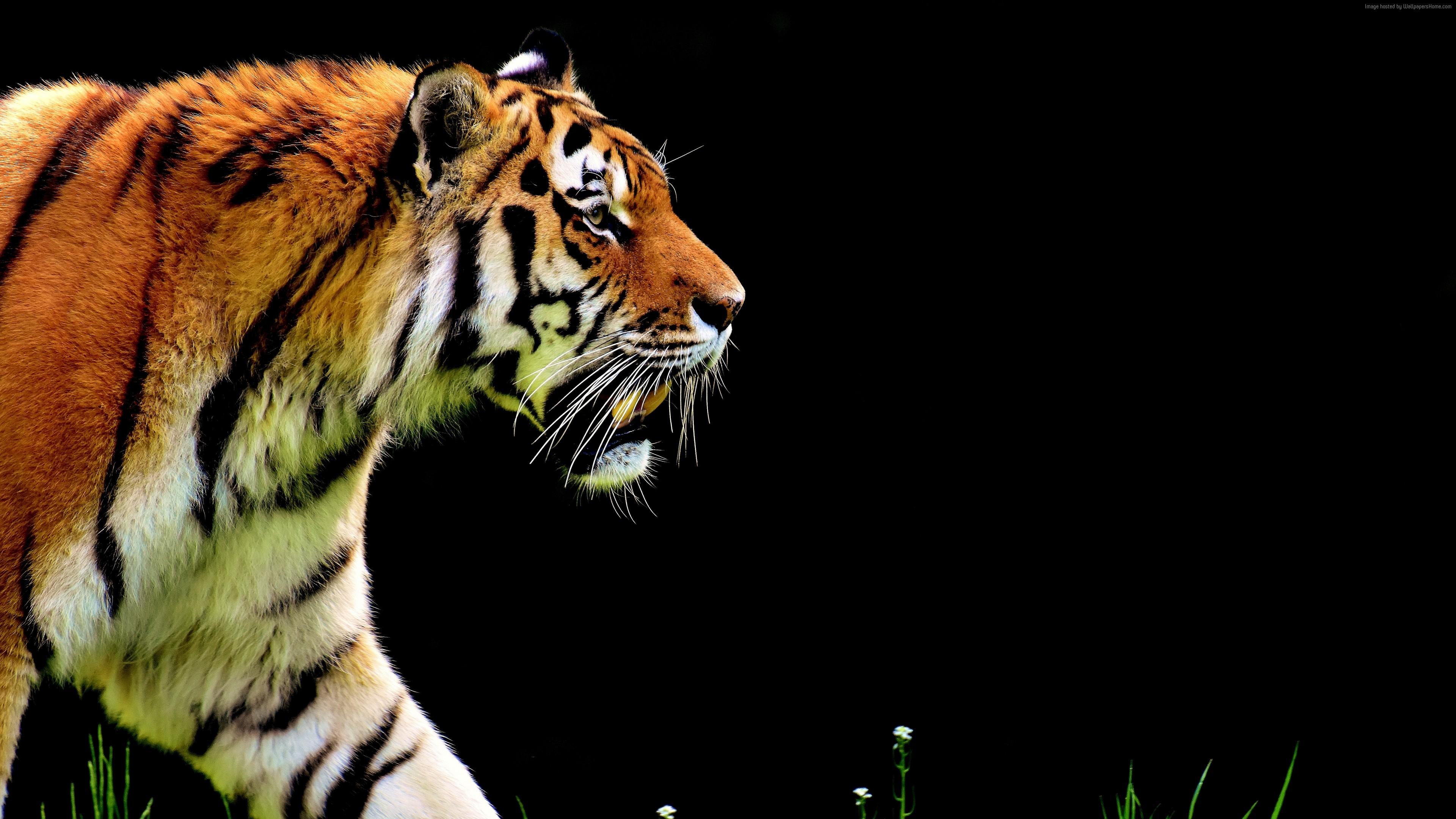 wallpaper tiger, 4k, animals 4k, tiger wallpaper download - high