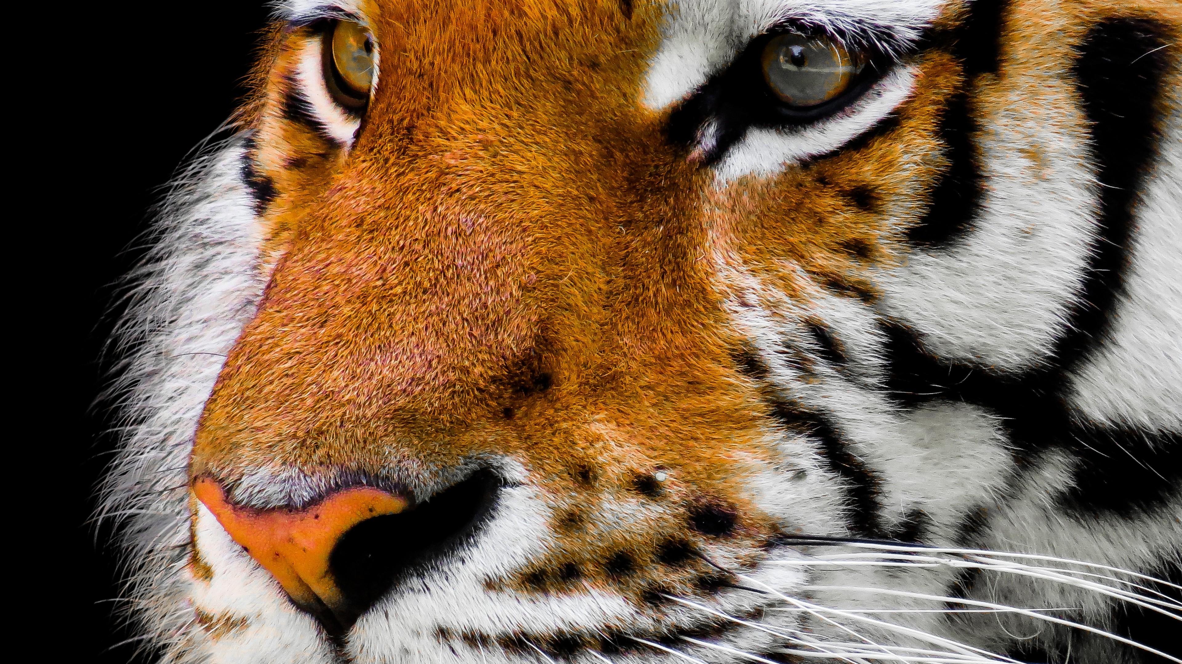 Wallpaper Tiger Cute Animals 4k Download