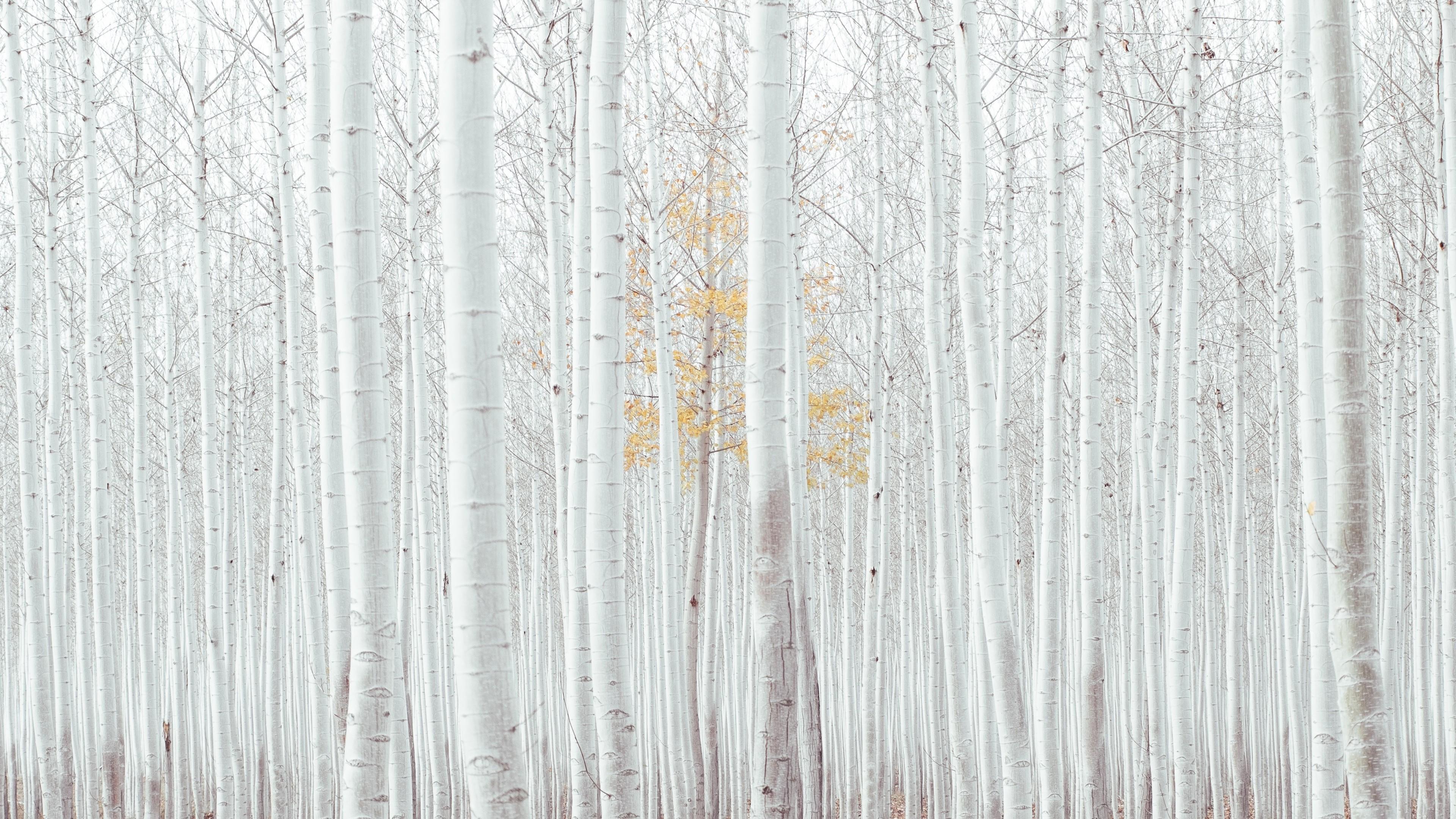 Wallpaper white, trees, forest, 4k, Nature Wallpaper ...