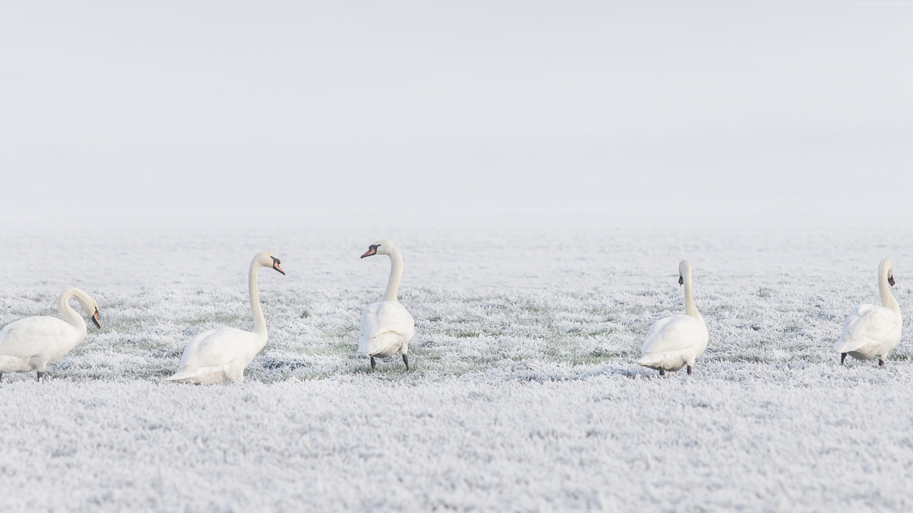 Wallpaper winter, swans, snow, 8k, Animals