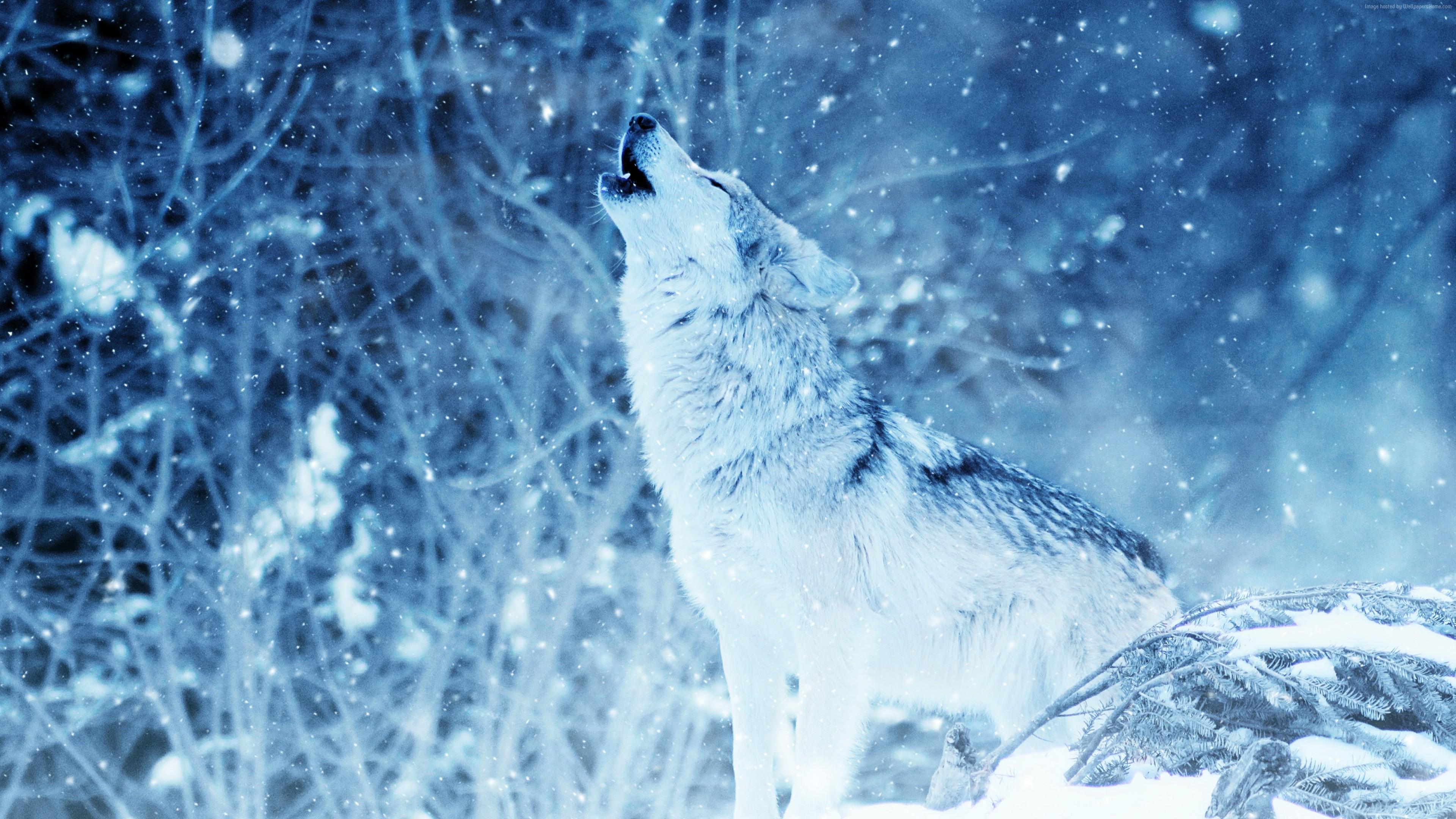 Wallpaper Wolf Winter Snow 4k Animals Wallpaper Download High Resolution 4k Wallpaper