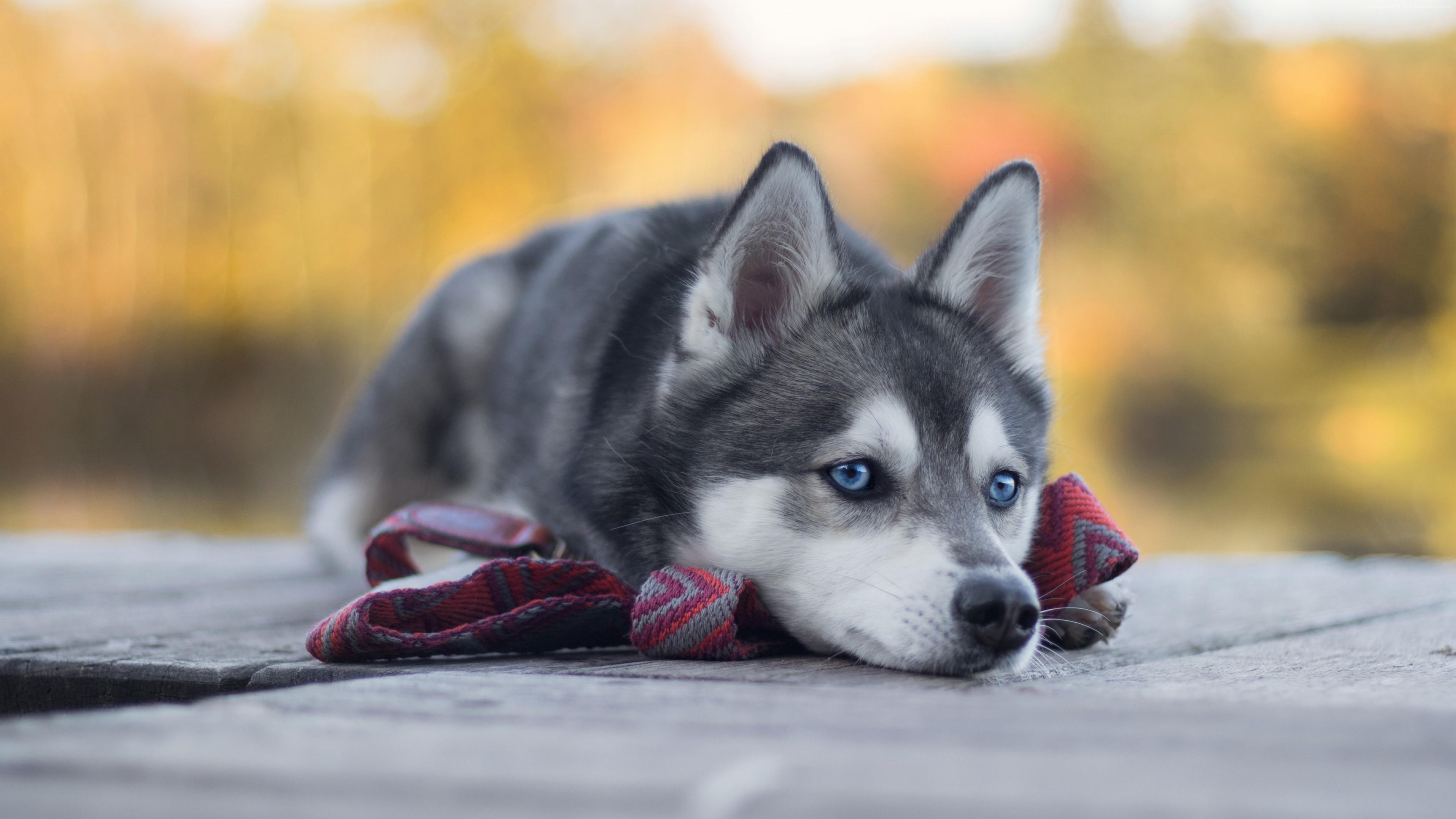 Wallpaper Husky, dog, cute animals, 4K ...