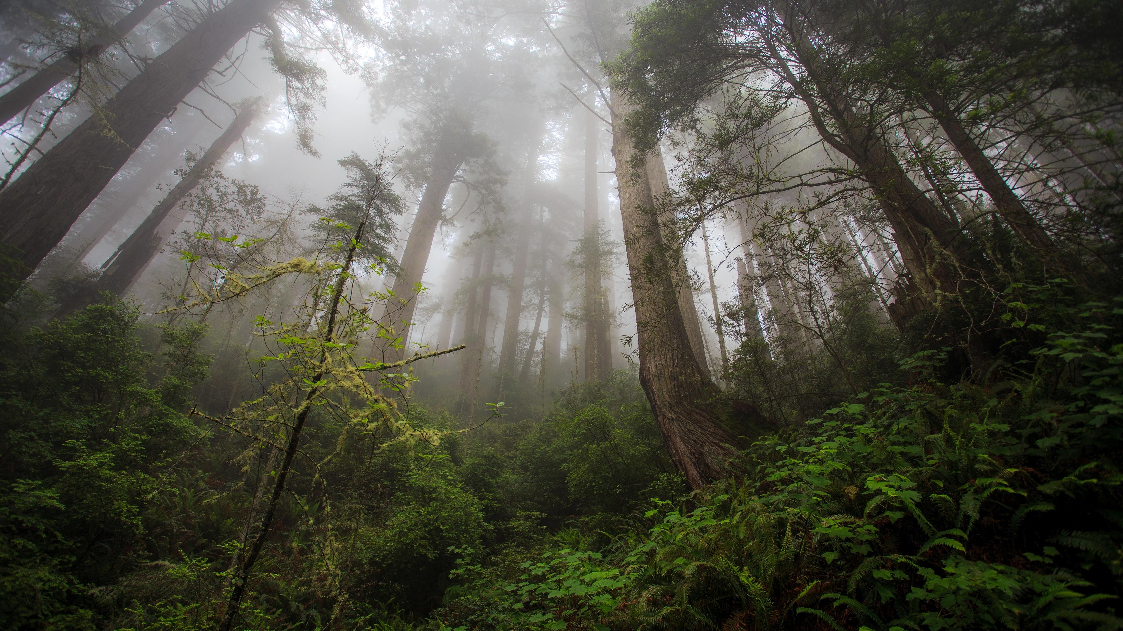 Forest Trees Mist 4K Ultra HD Desktop Wallpaper
