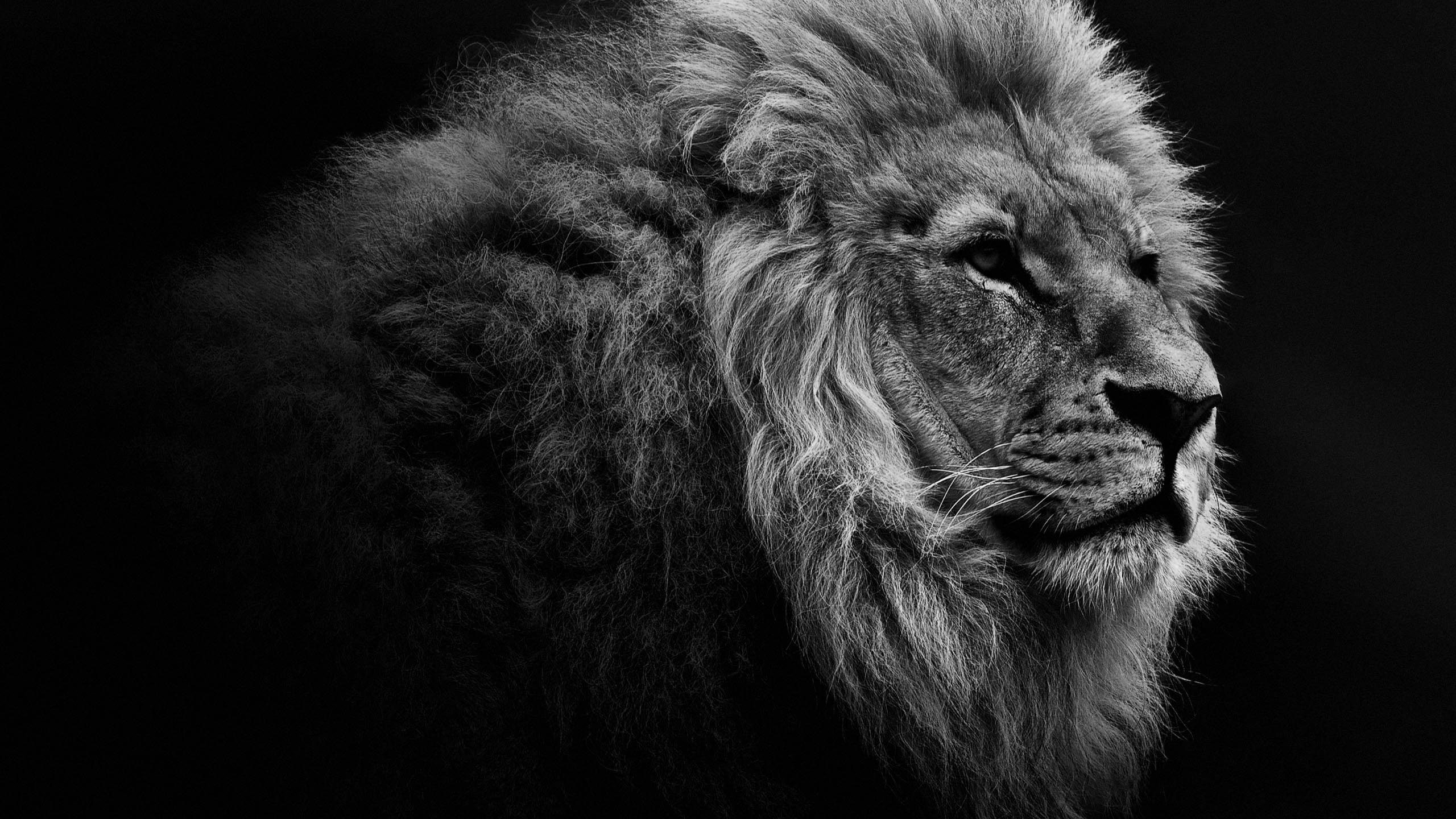 Lion Portrait BW Desktop