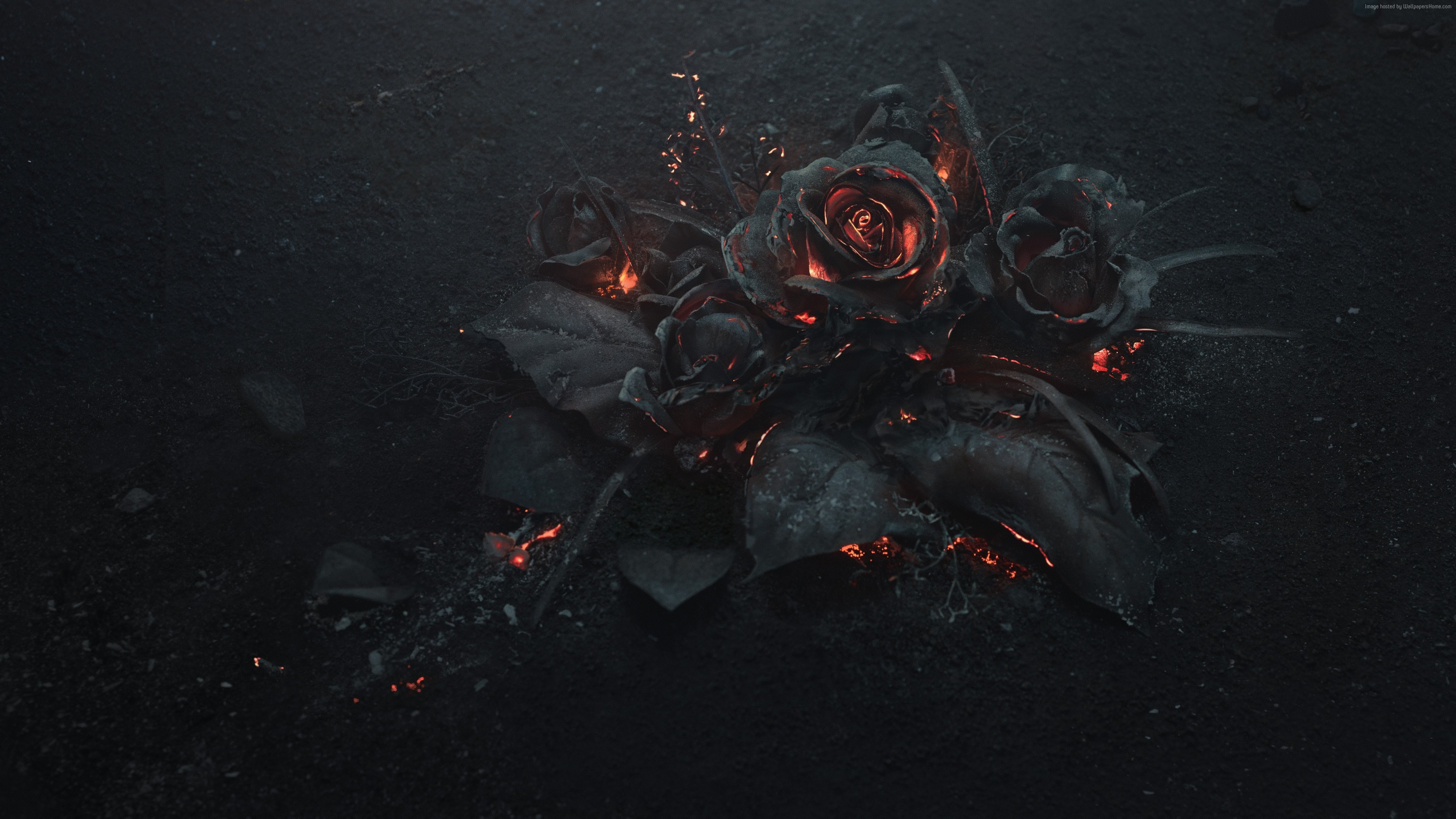 Stock Images rose, dark, 5K, Stock Images