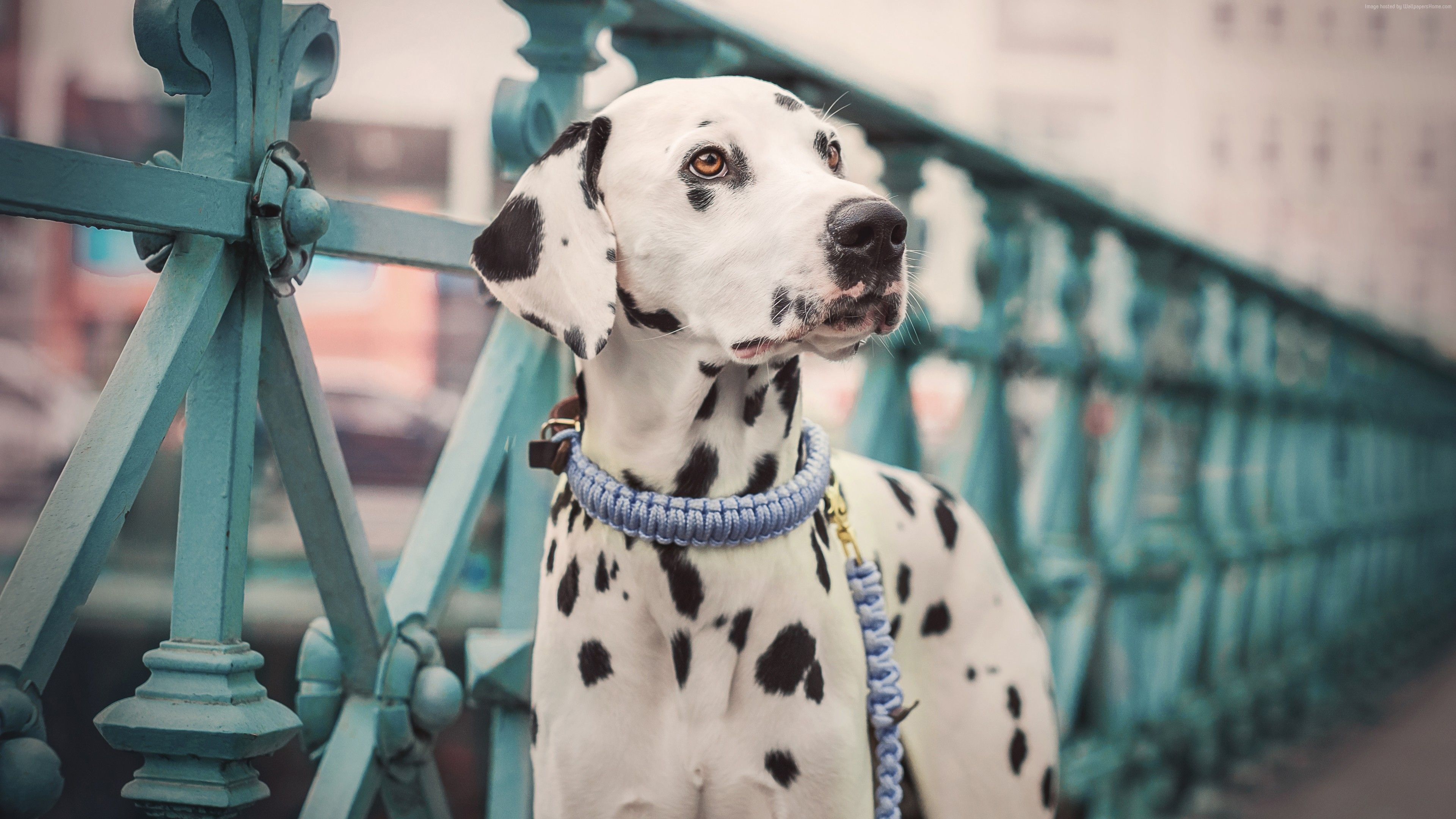 Wallpaper Dalmatian, dog, cute animals, 5K, Animals
