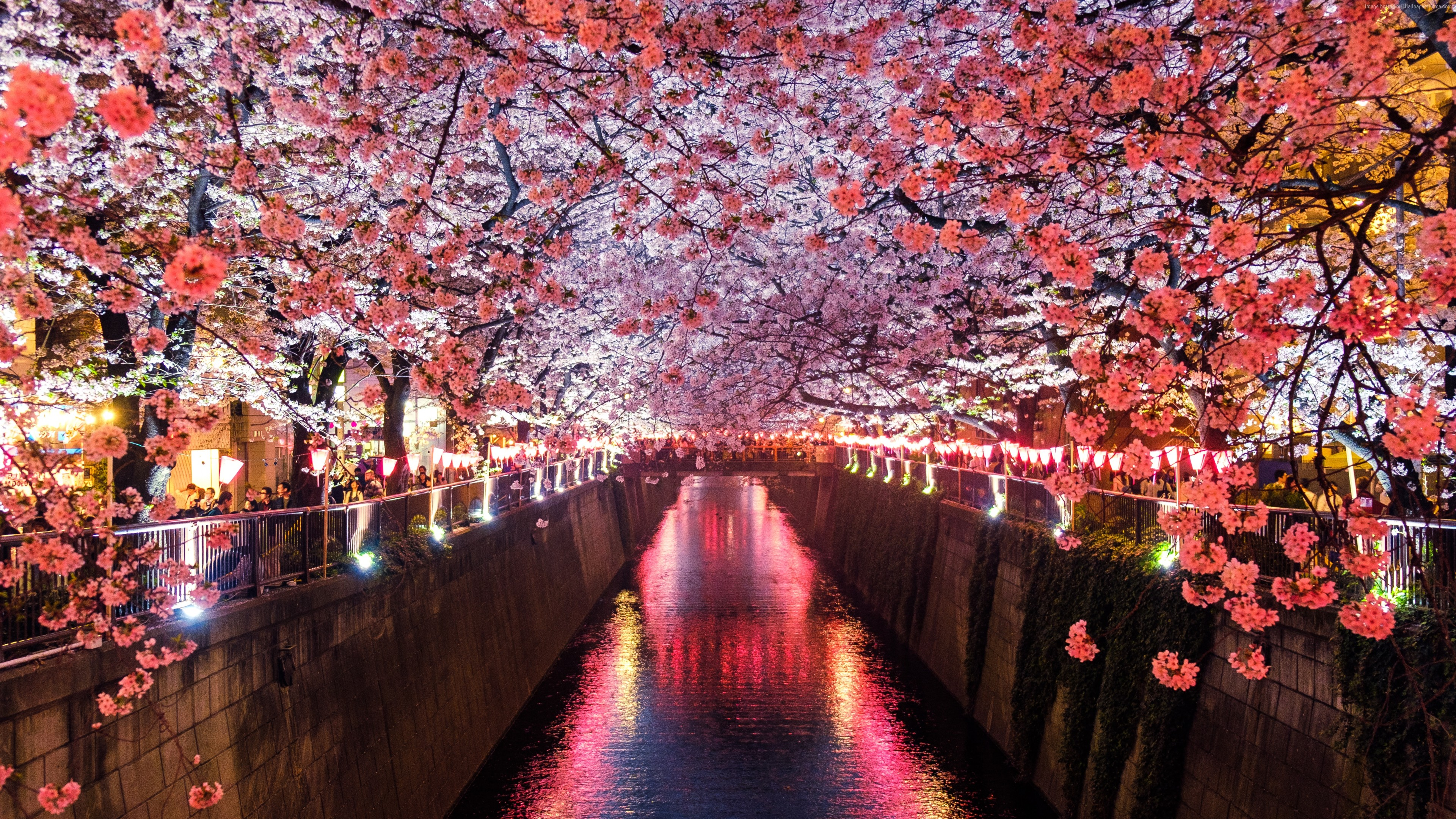 Wallpaper Sakura, Spring, 5K, Nature