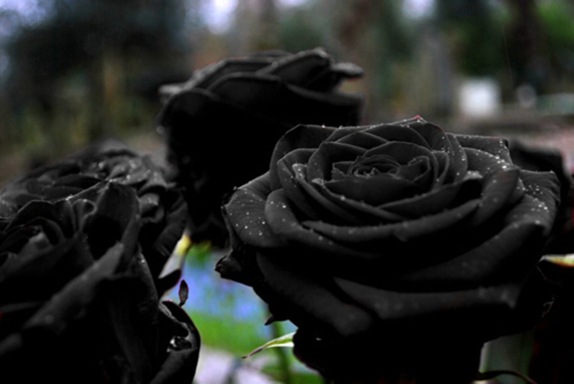 Black Rose HD Background