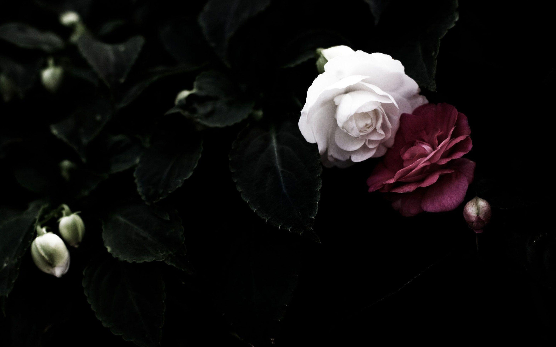Black Rose HD Wallpapers Wallpaper Download - High ...
