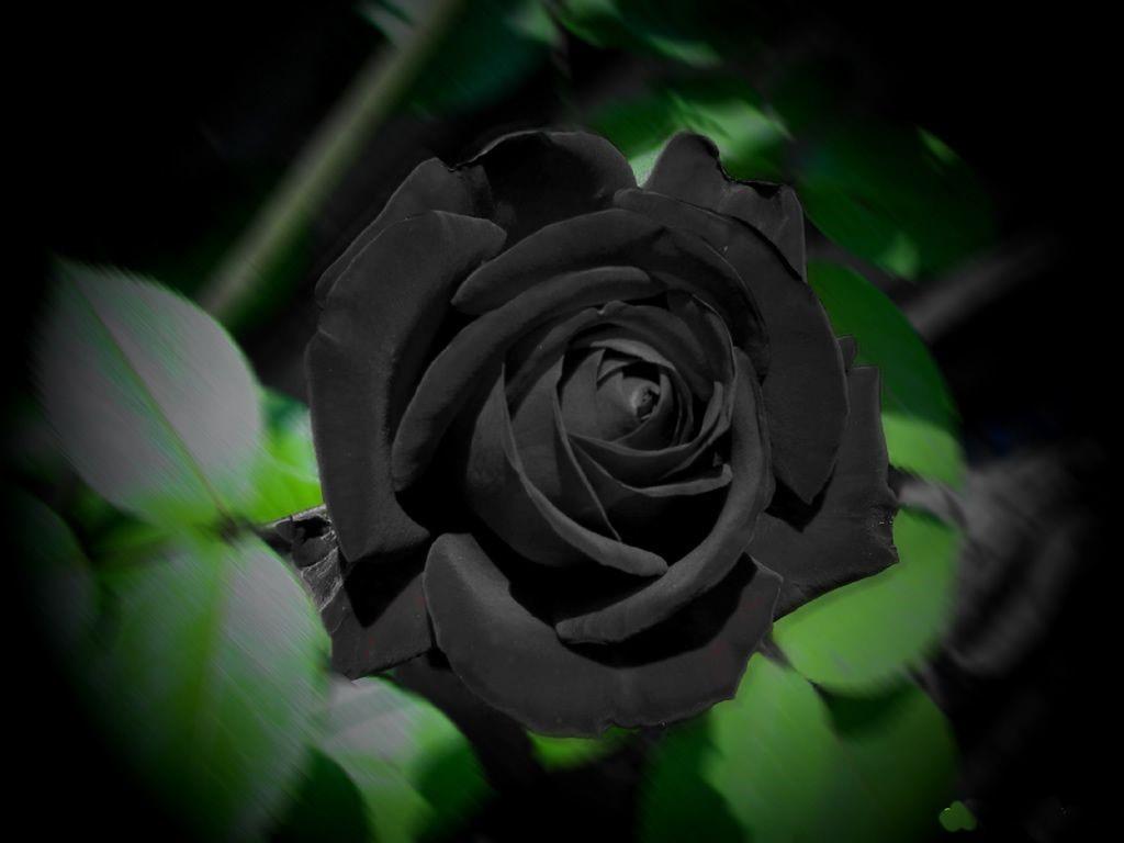 Black Rose Mobile Wallpapers