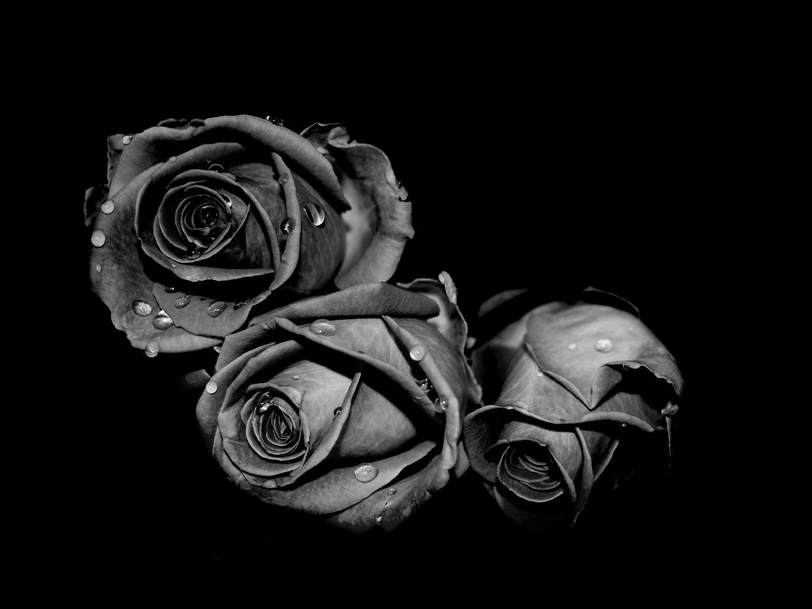 Black Rose Photo