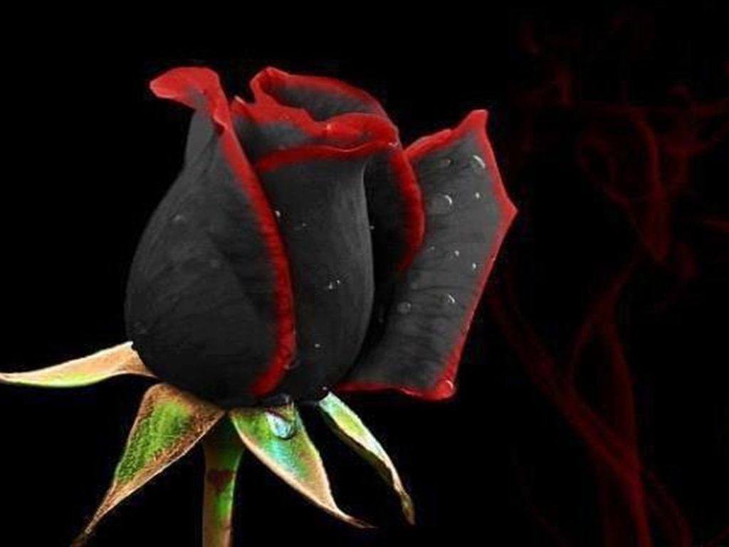 Black Rose UHD Wallpapers