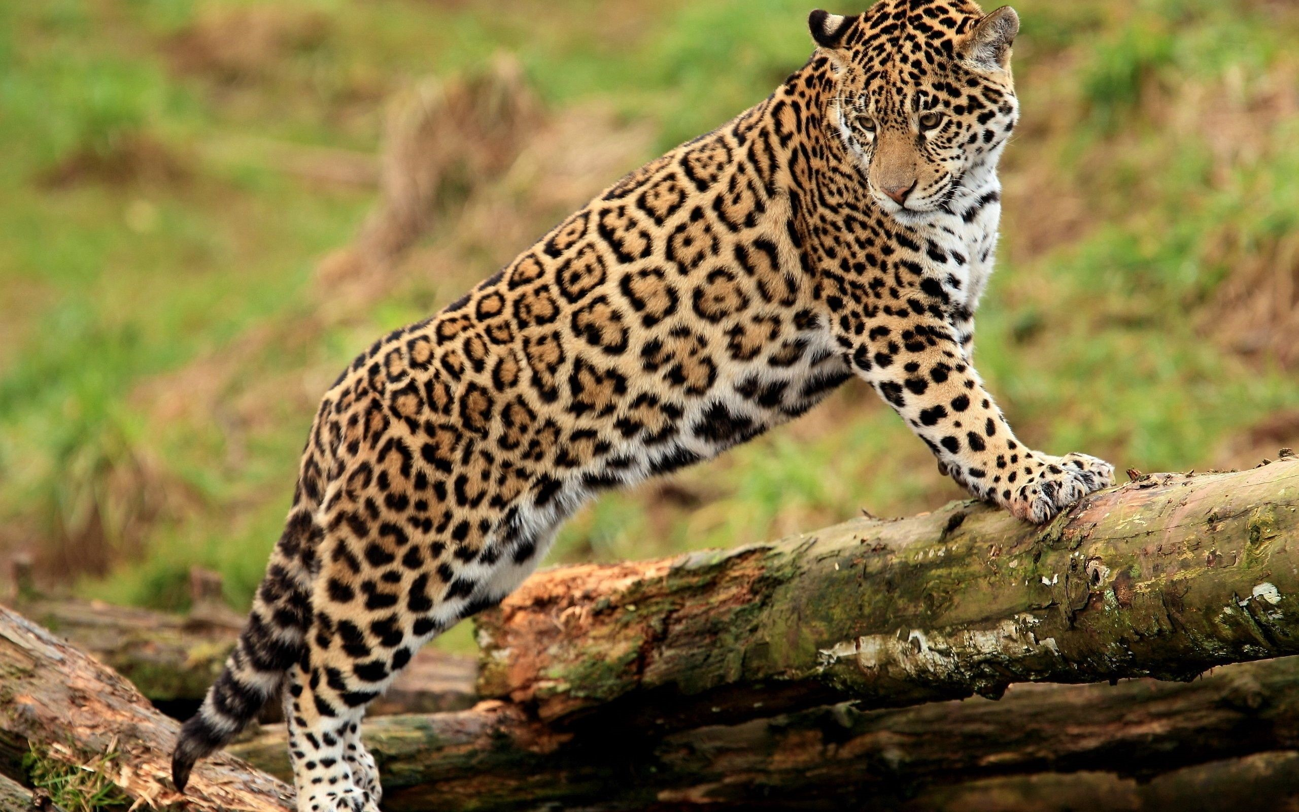 Jaguar Android Wallpapers