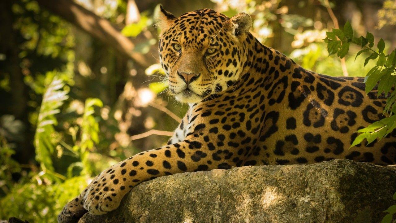 Jaguar Free Wallpaper