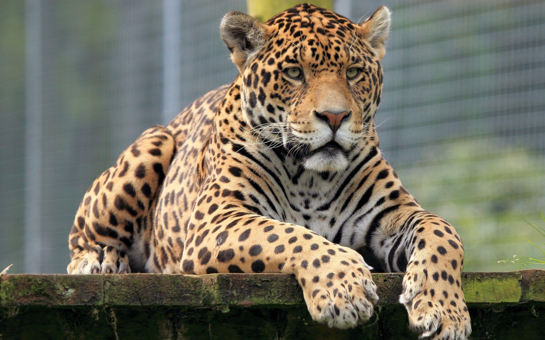 Jaguar HD Background