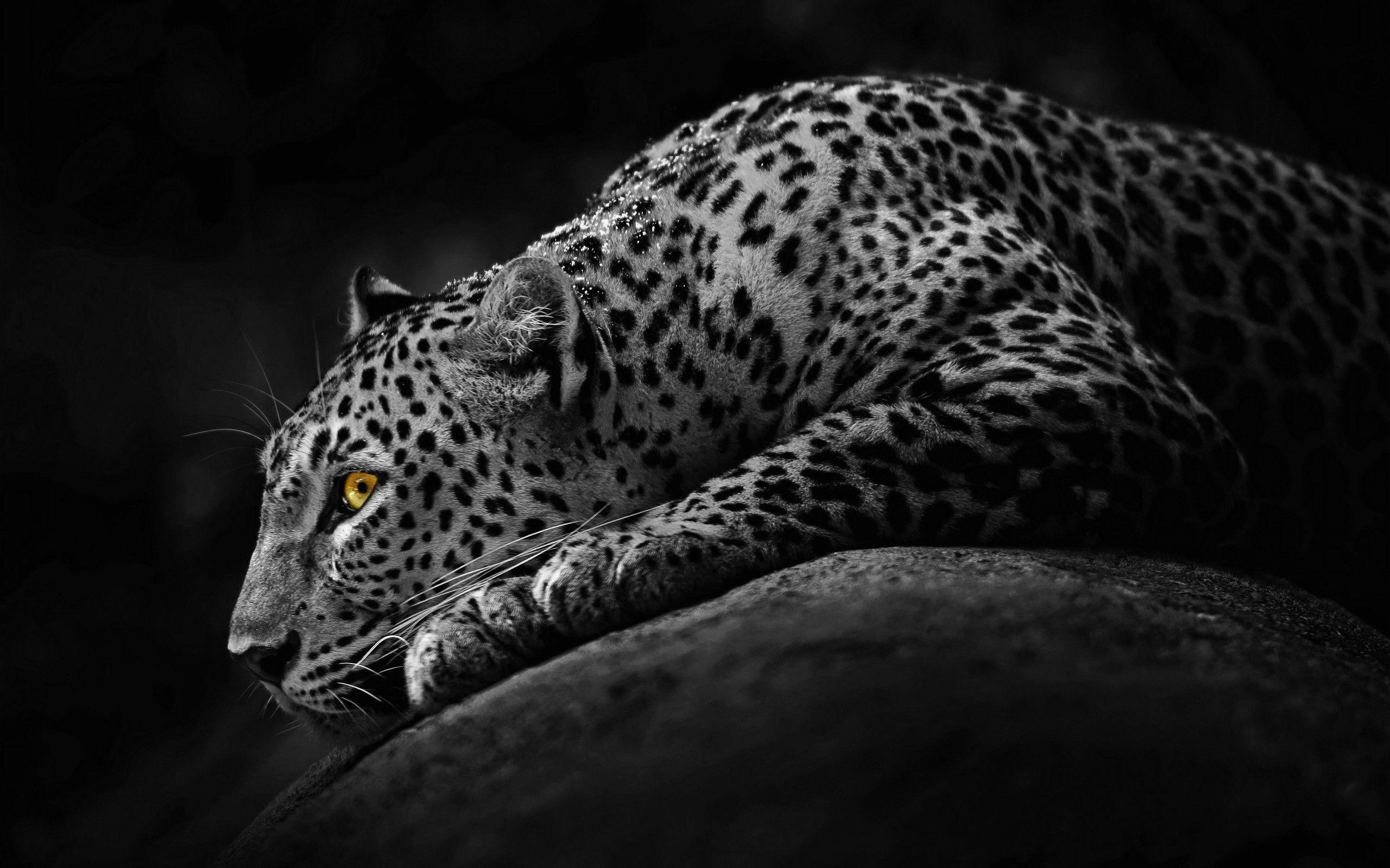 Jaguar Photo